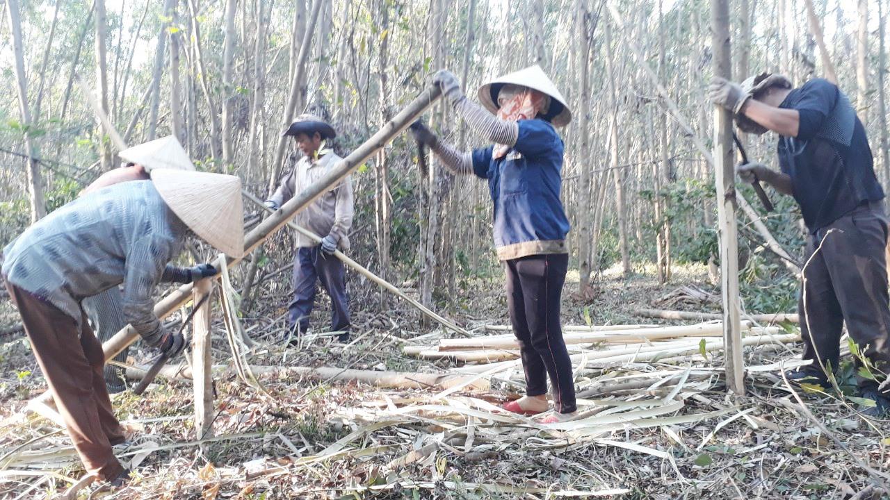 Người dân thôn An Lương xã Tam Anh Bắc (Núi Thành) đang khai thác keo. Ảnh: Q.H