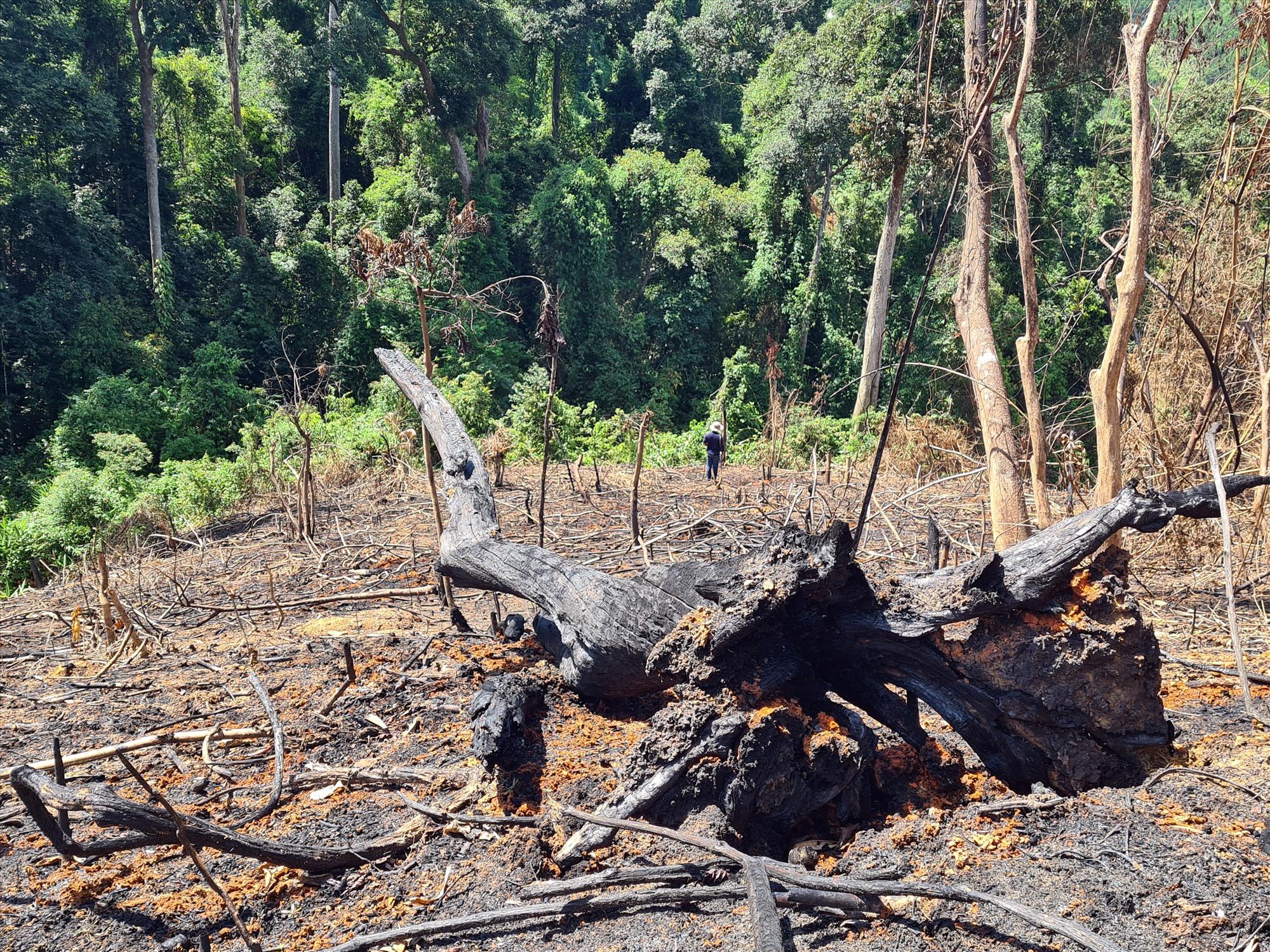 Đốt thực bì khiến nhiều cây gỗ bị cháy đen trong khoảnh 3, 4, 5 Tiểu khu 689 xã Phước Kim. Ảnh: T.N