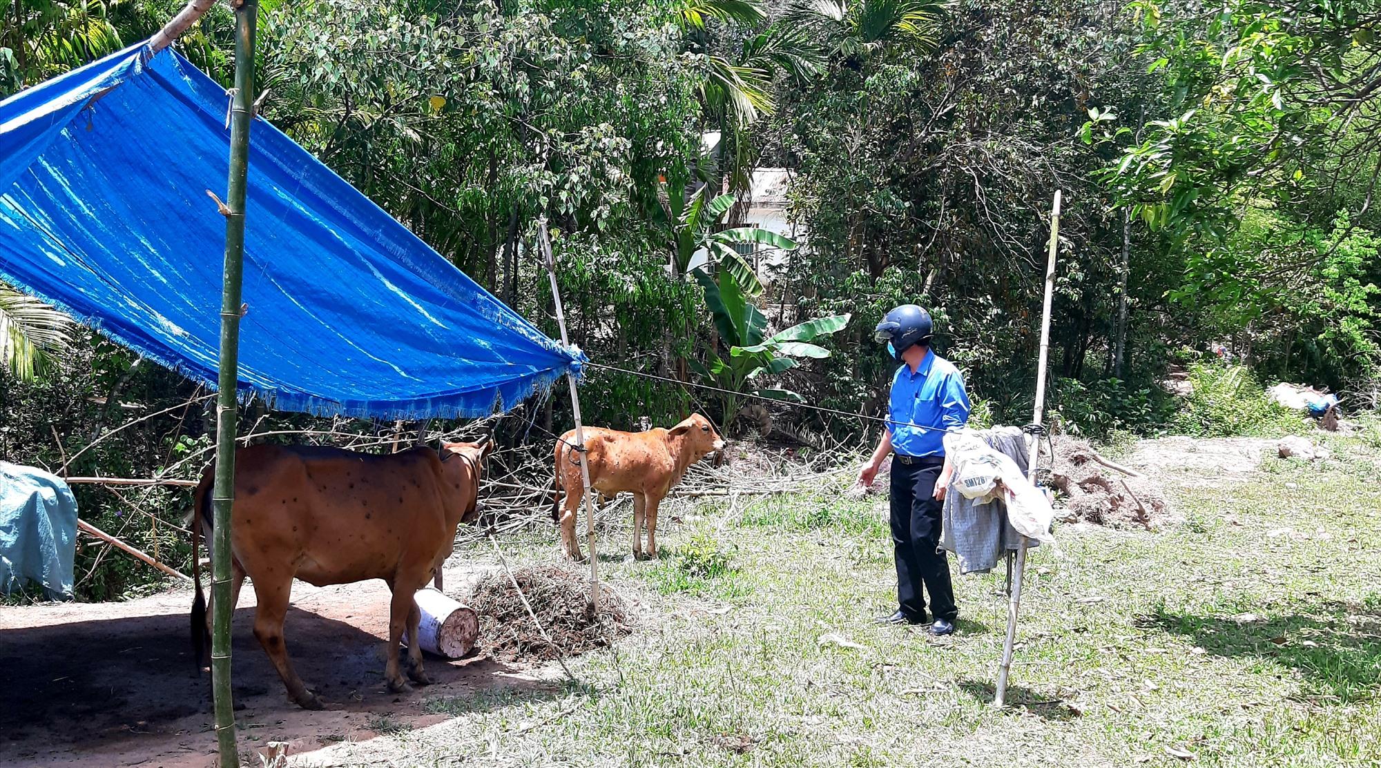 Cán bộ Trung tâm Kỹ thuật nông nghiệp huyện Nông Sơn kiểm tra những con bò bị nhiễm bệnh viêm da nổi cục ở xã Quế Trung. Ảnh: VĂN SỰ