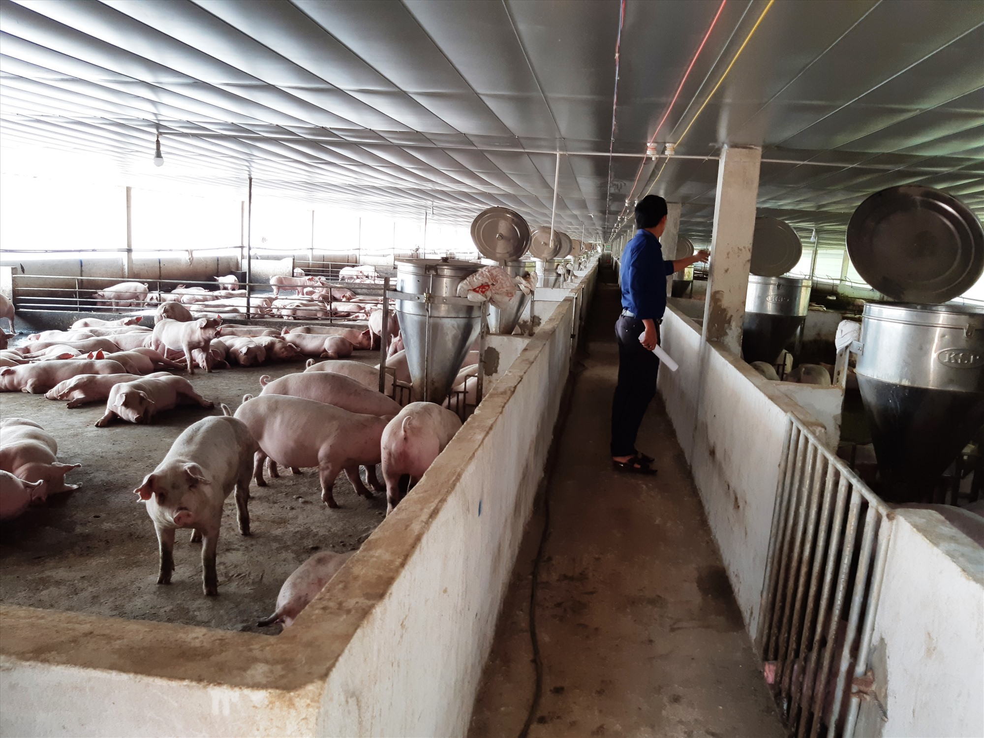 Một trang trại chăn nuôi heo công nghệ cao ở Đại Lộc. Ảnh: H.L
