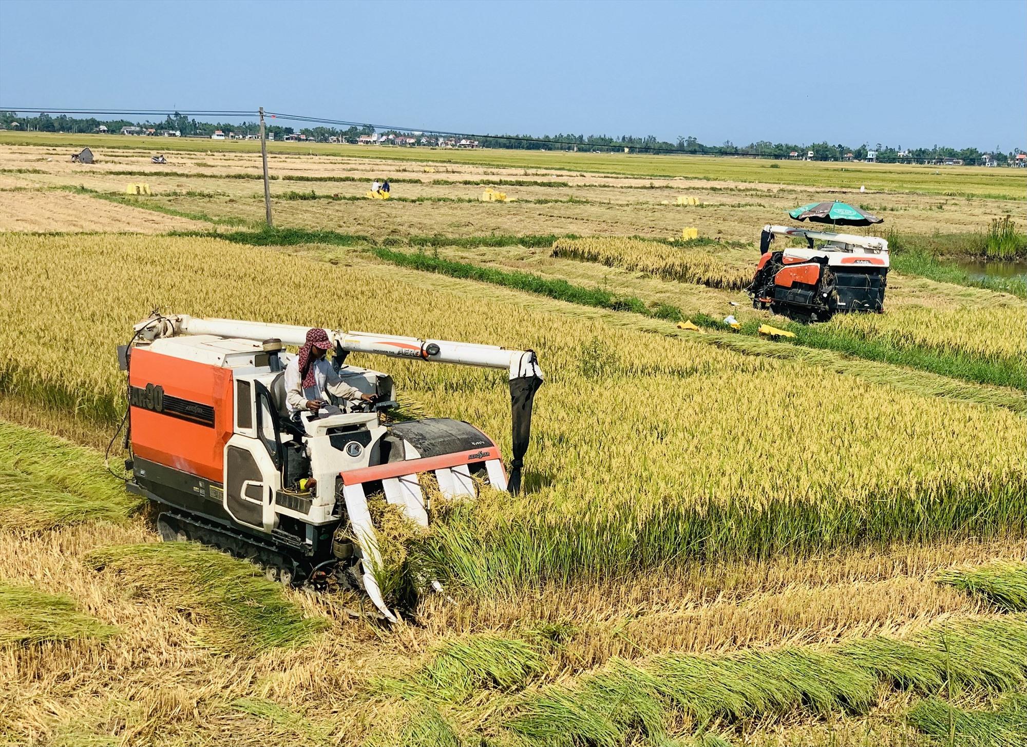 Nhờ huy động tối đa phương tiện cơ giới nên tiến độ thu hoạch lúa ở nhiều nơi diễn ra rất nhanh và góp phần giảm tổn thất sản lượng.  Ảnh: T.P