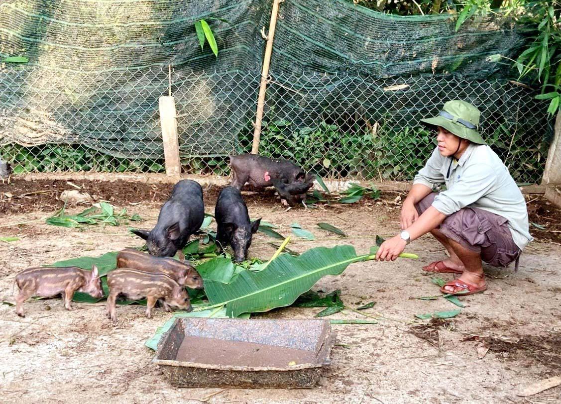 Chăn nuôi heo cỏ địa phương trở thành mô hình hiệu quả trong công tác giảm nghèo ở Nam Giang. Ảnh: B.H
