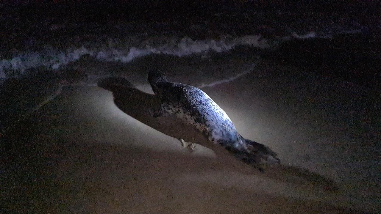 Hải cẩu được thả về với biển. Ảnh: T.N