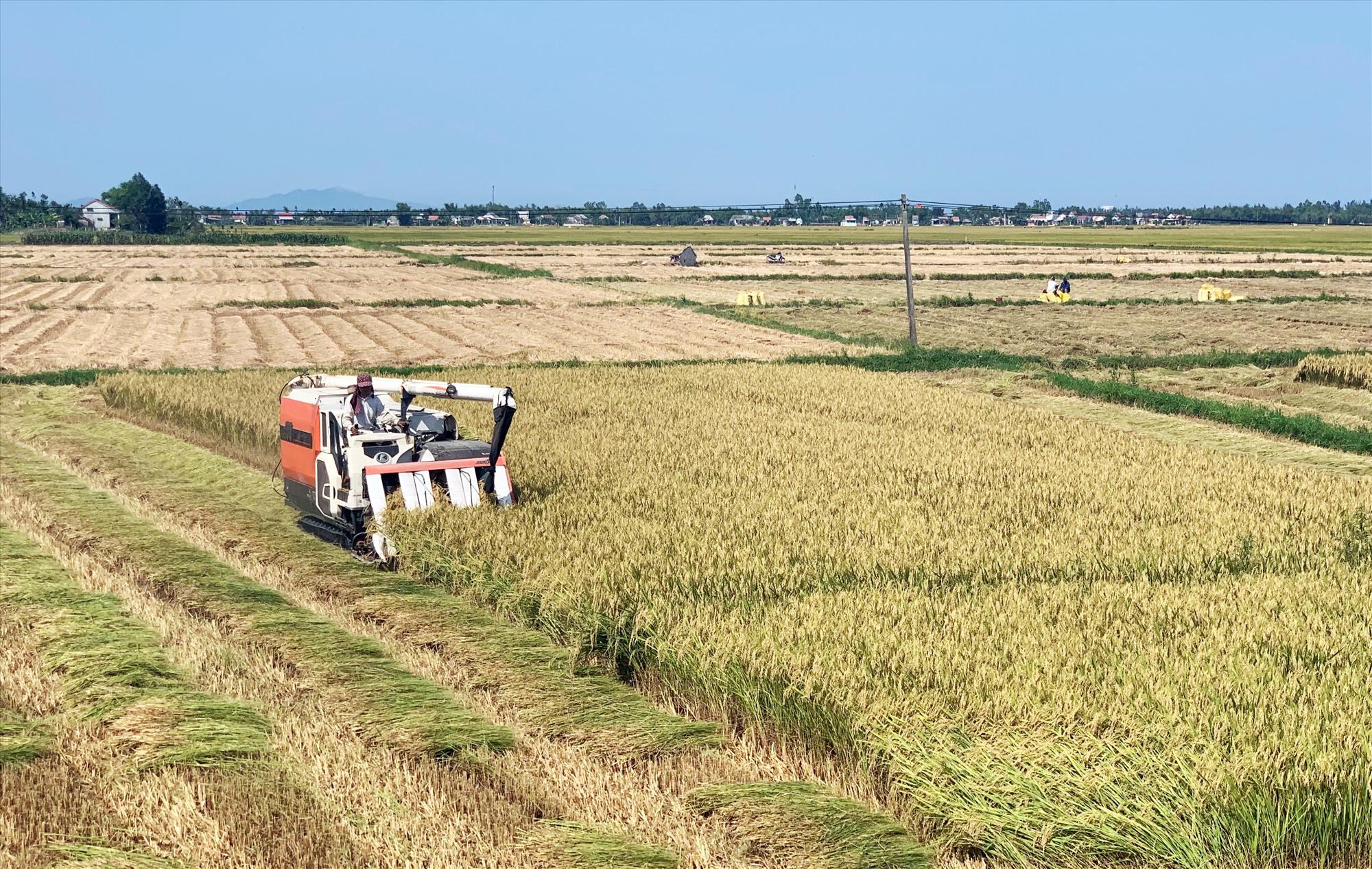 Nhiều địa phương tập trung đẩy nhanh tiến độ thu hoạch lúa đông xuân để triển khai làm đất gieo sạ vụ hè thu 2021. Ảnh: VĂN SỰ