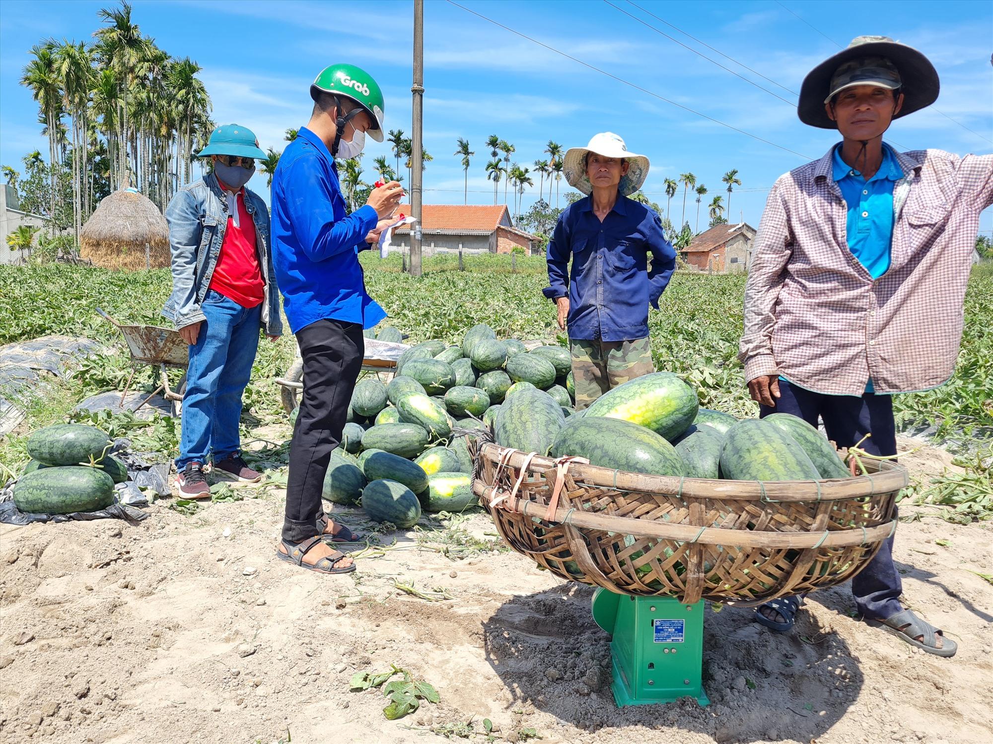 Tuổi trẻ hỗ trợ bà con các công đoạn thu hoạch và tiêu thụ dưa. Ảnh: HOÀNG LIÊN