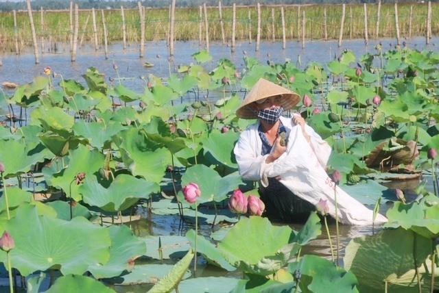Ông Nguyễn Anh Quyền, trú khối phố An Hà Đông đang tự thu hoạch sen. Ảnh: VT