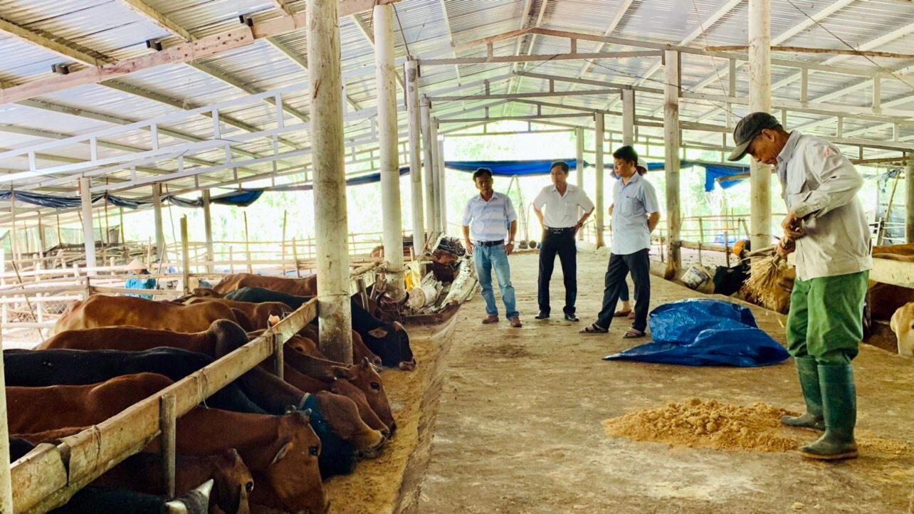 Mô hình nuôi bò sinh sản, bò vỗ béo 3B của ông Võ Thanh An (thôn Tân Phong, xã Quế Lộc) bước đầu cho hiệu quả kinh tế cao. Ảnh: LÊ THÔNG