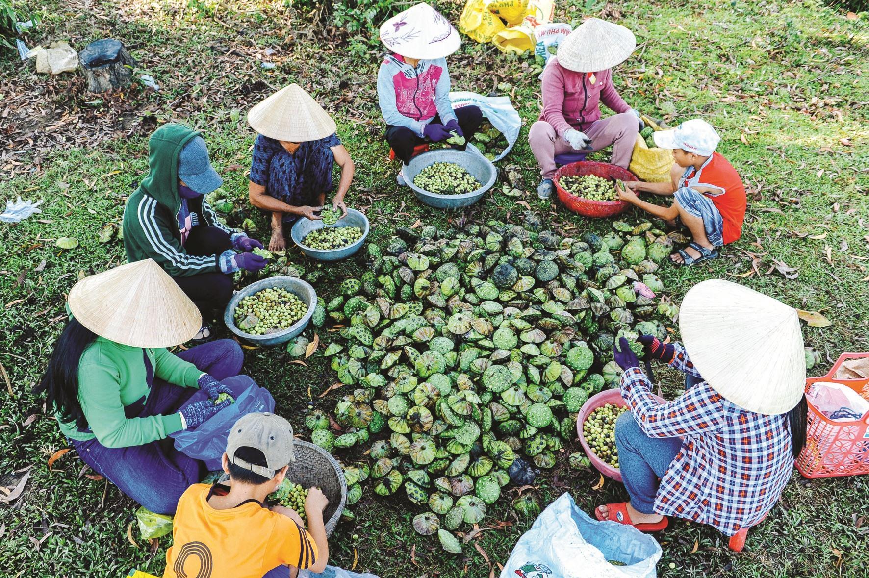 Cùng nhau tách hạt sen không chỉ là công việc mà còn là thú vui của người trồng sen.