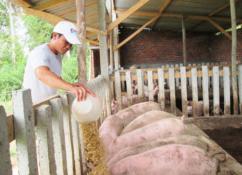 Nhờ thụ hưởng cơ chế hỗ trợ, những năm qua nhiều hộ dân có điều kiện đầu tư phát triển mạnh mô hình chăn nuôi. Ảnh: S.C