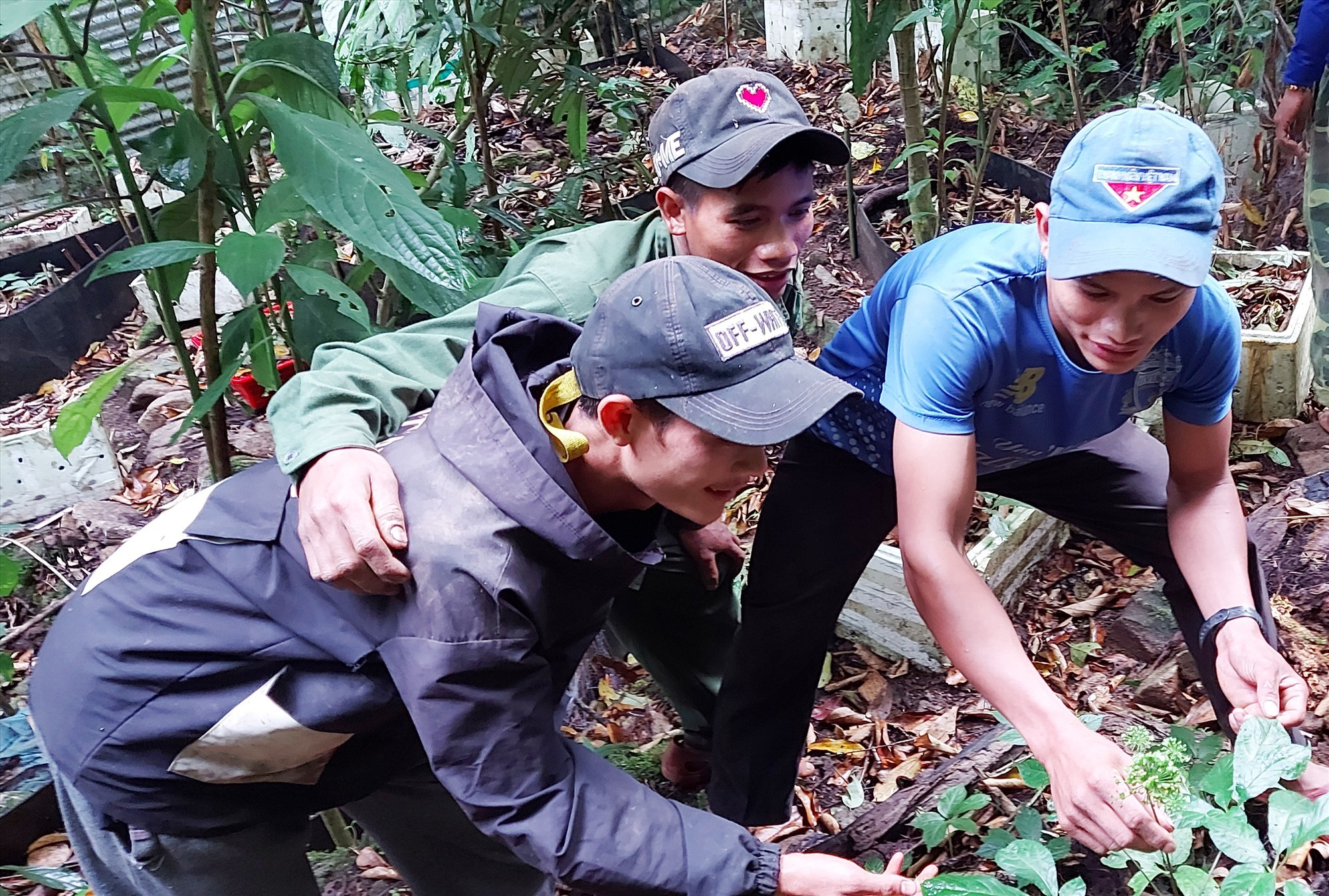 A group of youths planting Ngoc Linh ginseng in Tra Linh