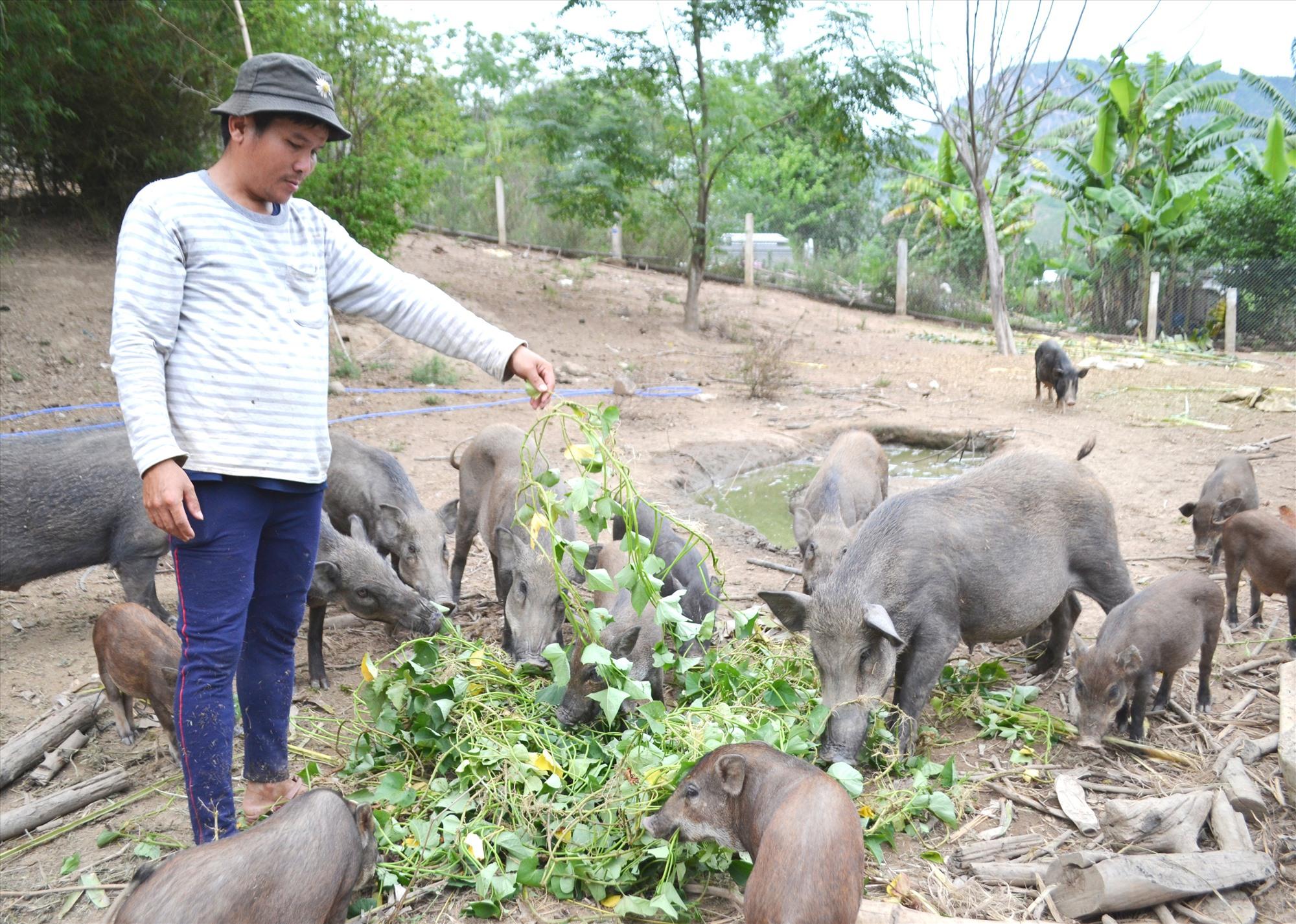 Hồng Trung Đại Sơn mỗi năm xuất bán hàng trăm con heo rừng nái, heo rừng thịt thả nuôi. Ảnh: CT