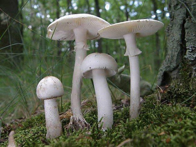 Nấm độc tán trắng, một loại nấm có độc tính cao thường bị nhầm lẫn với nấm lành.