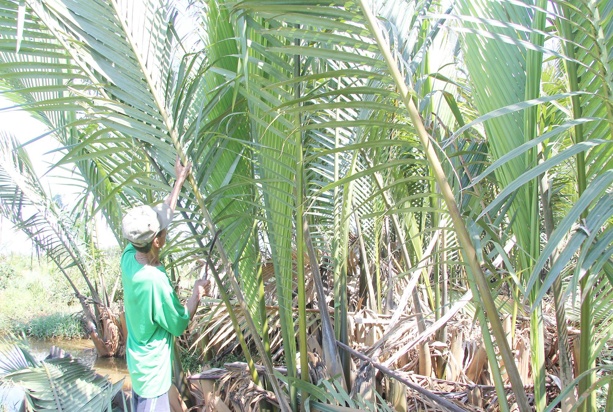 Dừa nước mang lại thu nhập ổn định cho nhiều hộ dân tại thôn Tịch Tây, xã Tam Nghĩa. Ảnh: H.Q