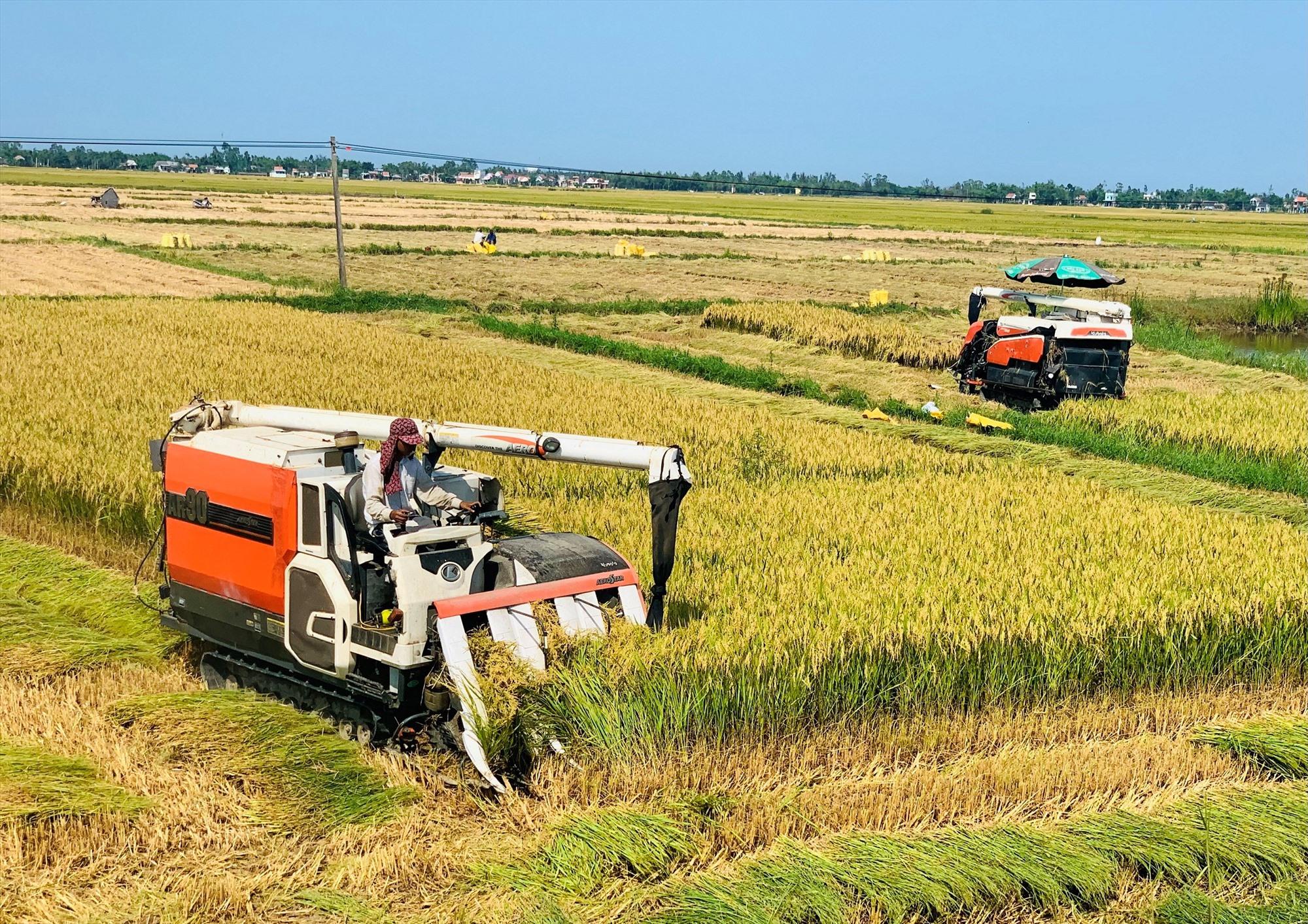 Thời gian tới, tỉnh sẽ duy trì và phát triển mô hình liên kết sản xuất lúa giống hàng hóa với quy mô diện tích ít nhất là 5.000ha/năm. Ảnh: MAI LINH