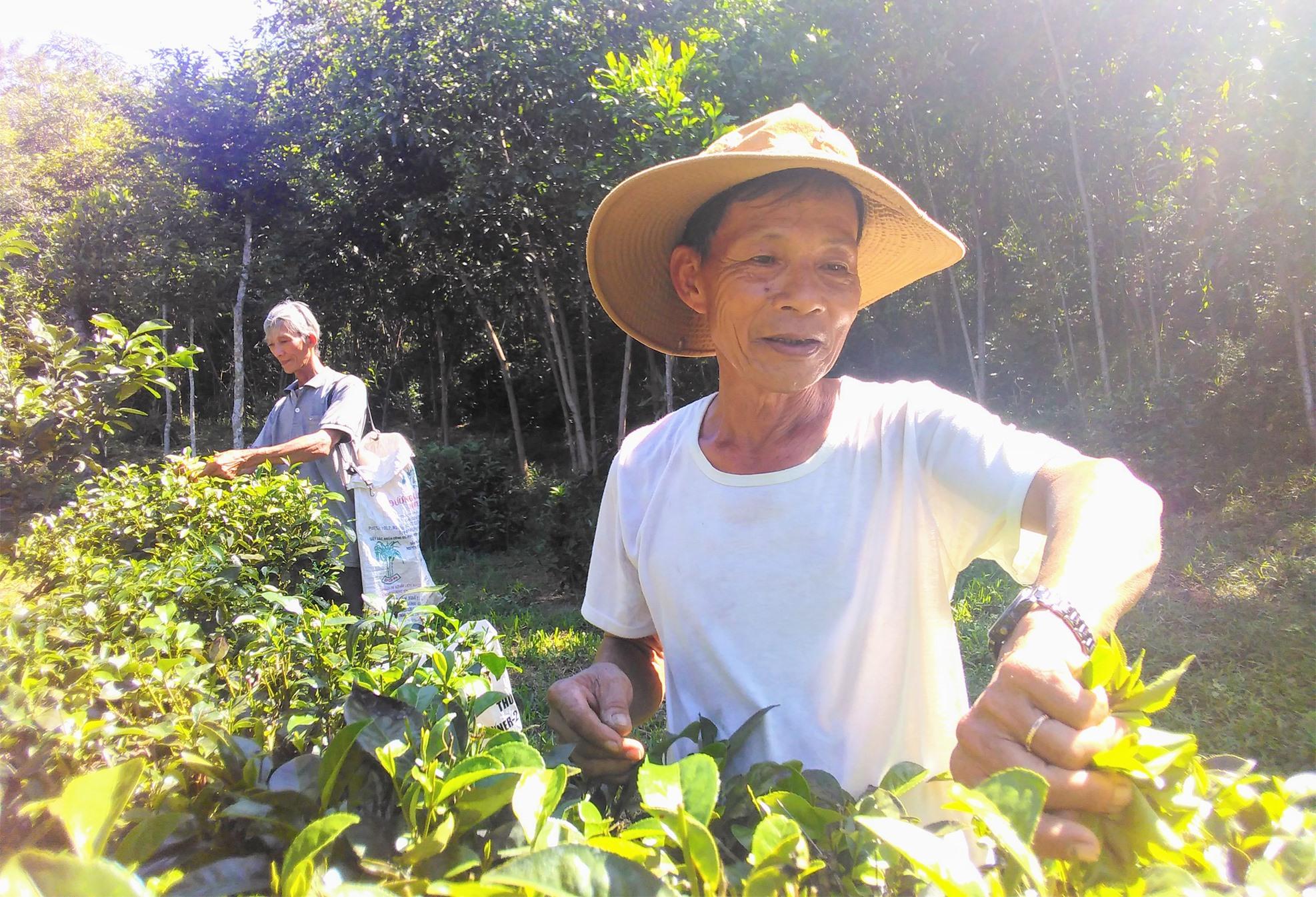 Người dân thôn Đức Phú (xã Tam Sơn) đang thu hoạch chè búp tươi. Ảnh: H.Q