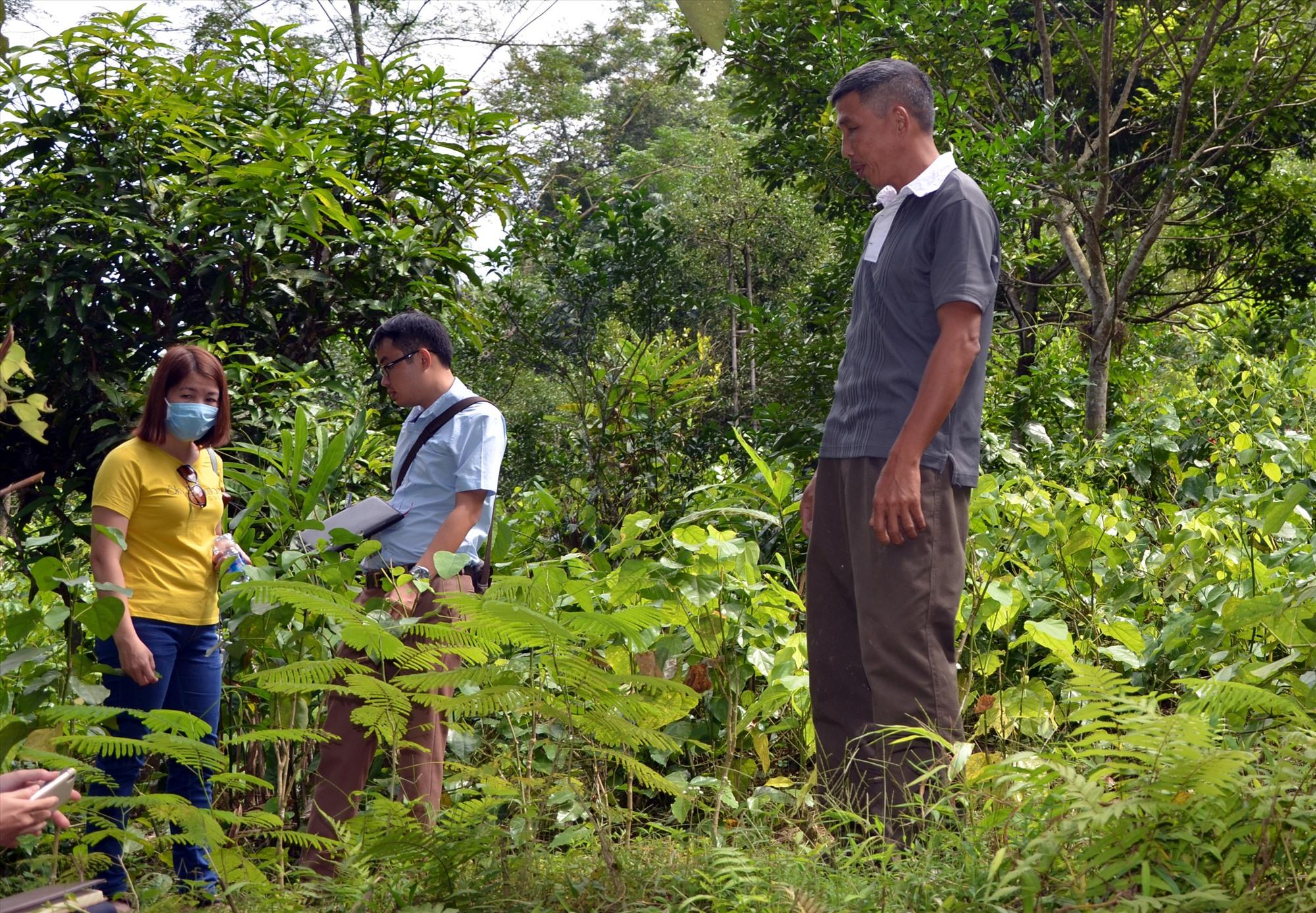 Mô hình trồng cây dược liệu dưới tán rừng đang được các huyện miền núi Quảng Nam quan tâm đầu tư. Ảnh: H.P