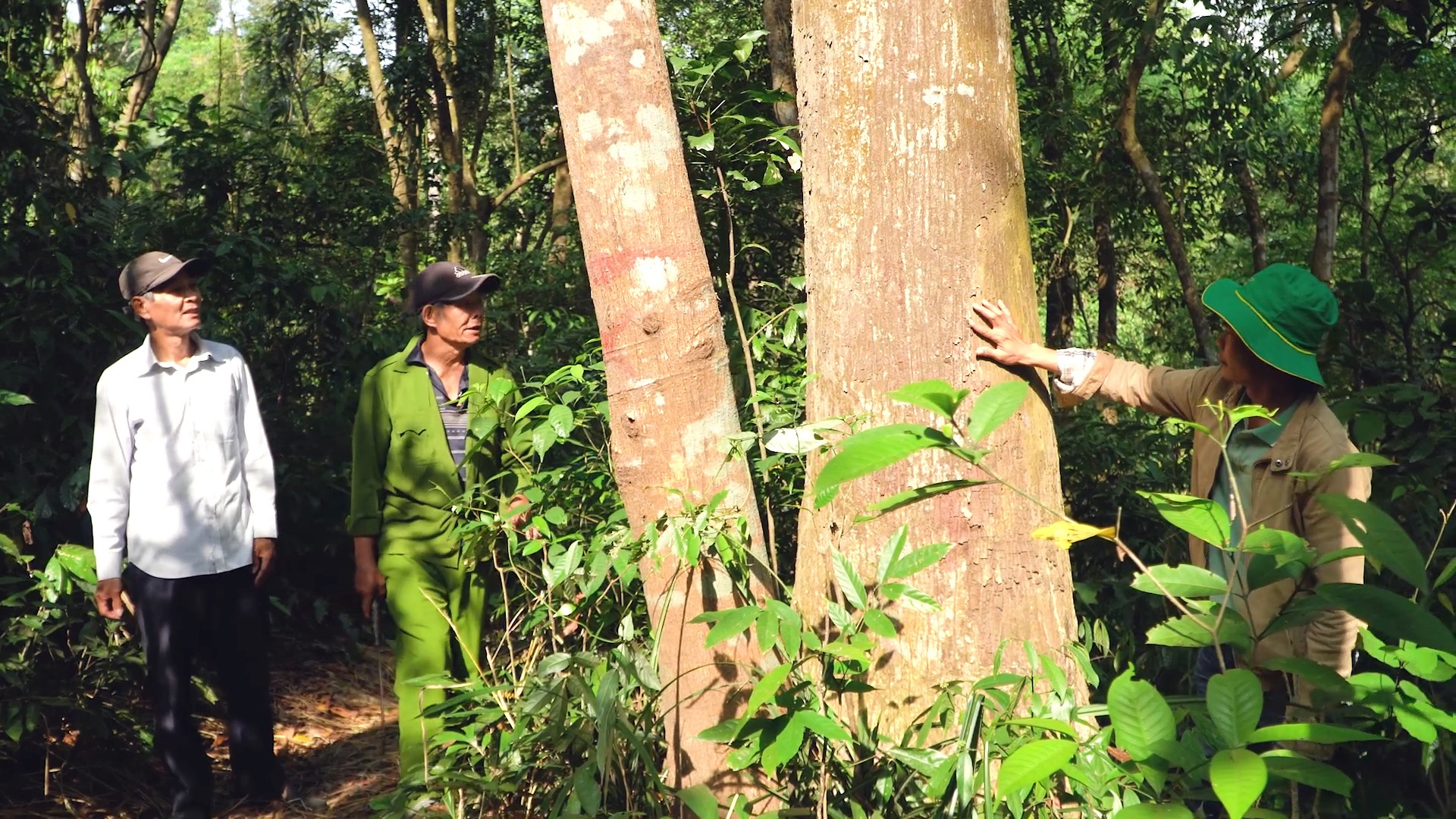 Trong rừng Cấm (Đại Bình, Quế Trung, Nông Sơn) còn nhiều cây huỳnh đàn cổ thụ, thân to hơn vòng tay người ôm. Ảnh: LÊ THÔNG