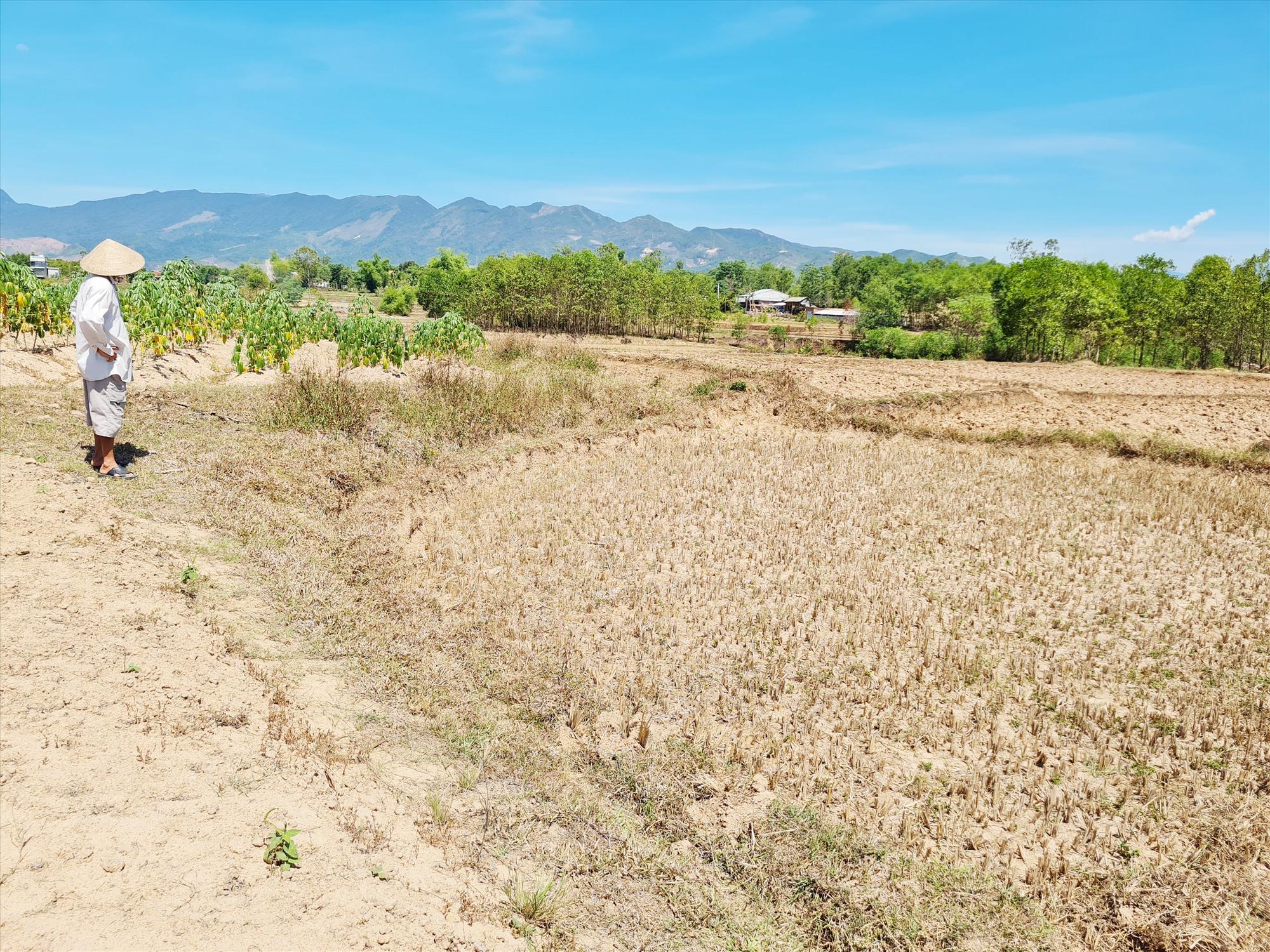 Cánh đồng sản xuất lúa thuộc đội 3, thôn Tập Phước (xã Đại Chánh) bị khô hạn, chưa có nước để kịp gieo sạ. Ảnh: H.L