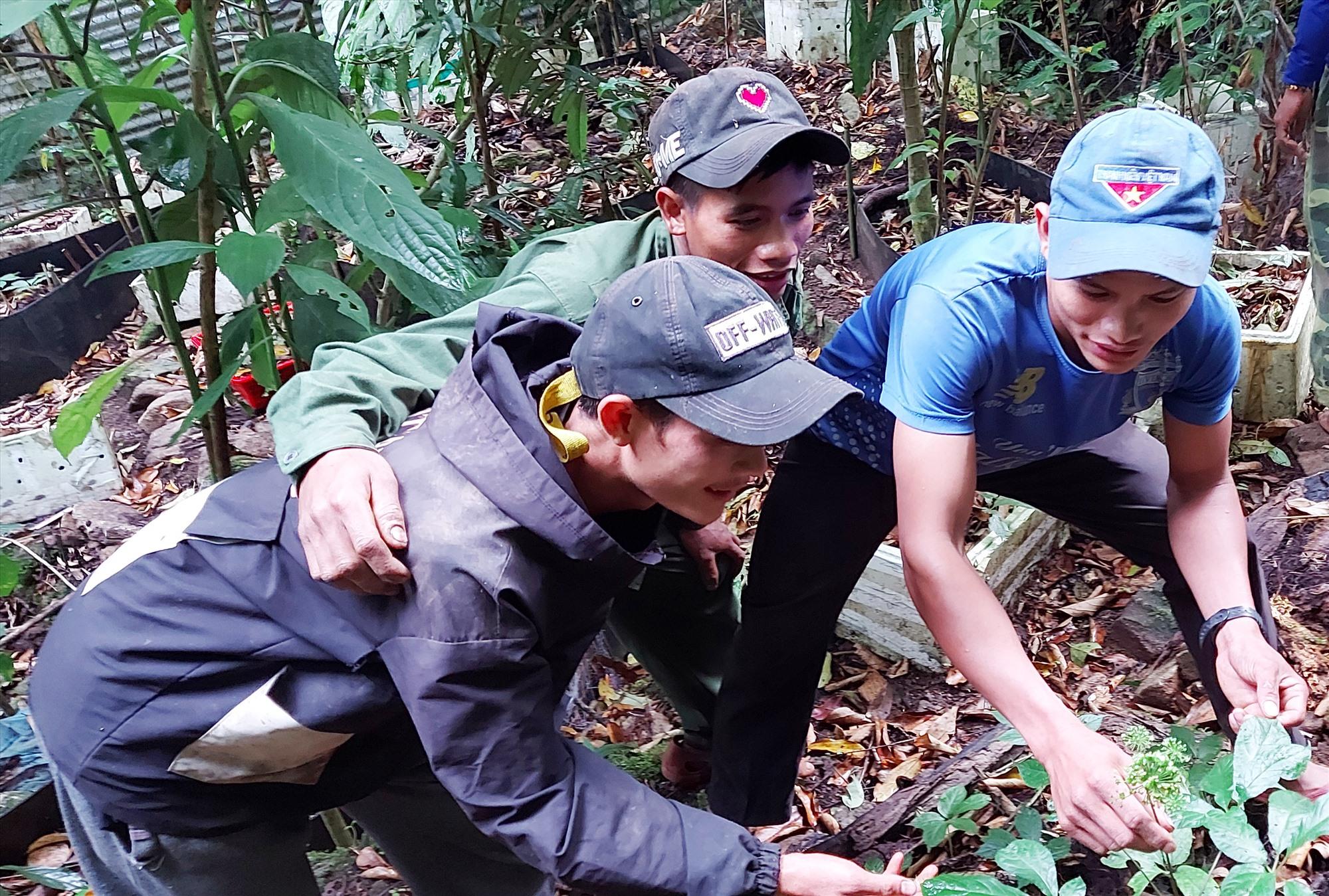 Nhóm thanh niên cùng nhau trồng sâm ở xã Trà Linh. Ảnh: VĂN THỌ