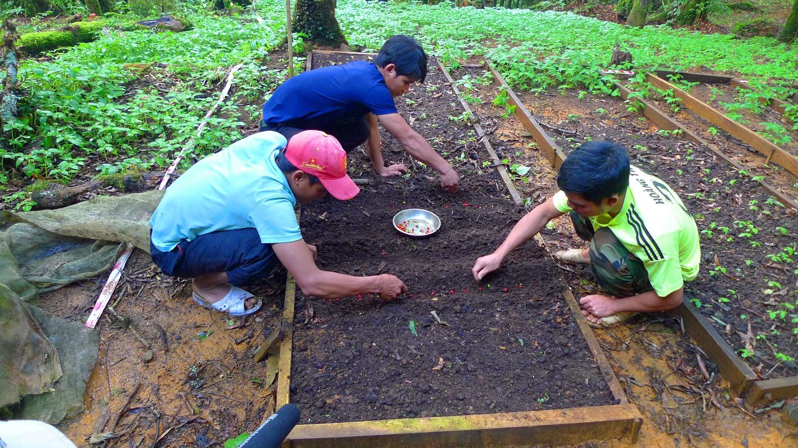 Vùng trồng sâm Ngọc Linh đang thiếu nguồn cây giống trầm trọng. Ảnh: H.P