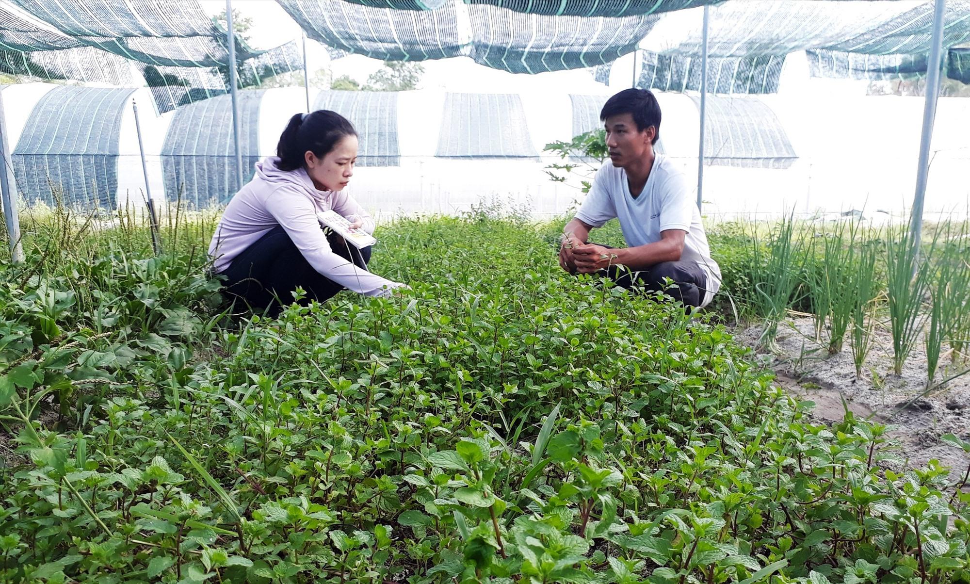 Mô hình trồng rau hữu cơ trong nhà lưới của HTX Nông nghiệp công nghệ cao Trường Thành. Ảnh: NGUYỄN QUANG