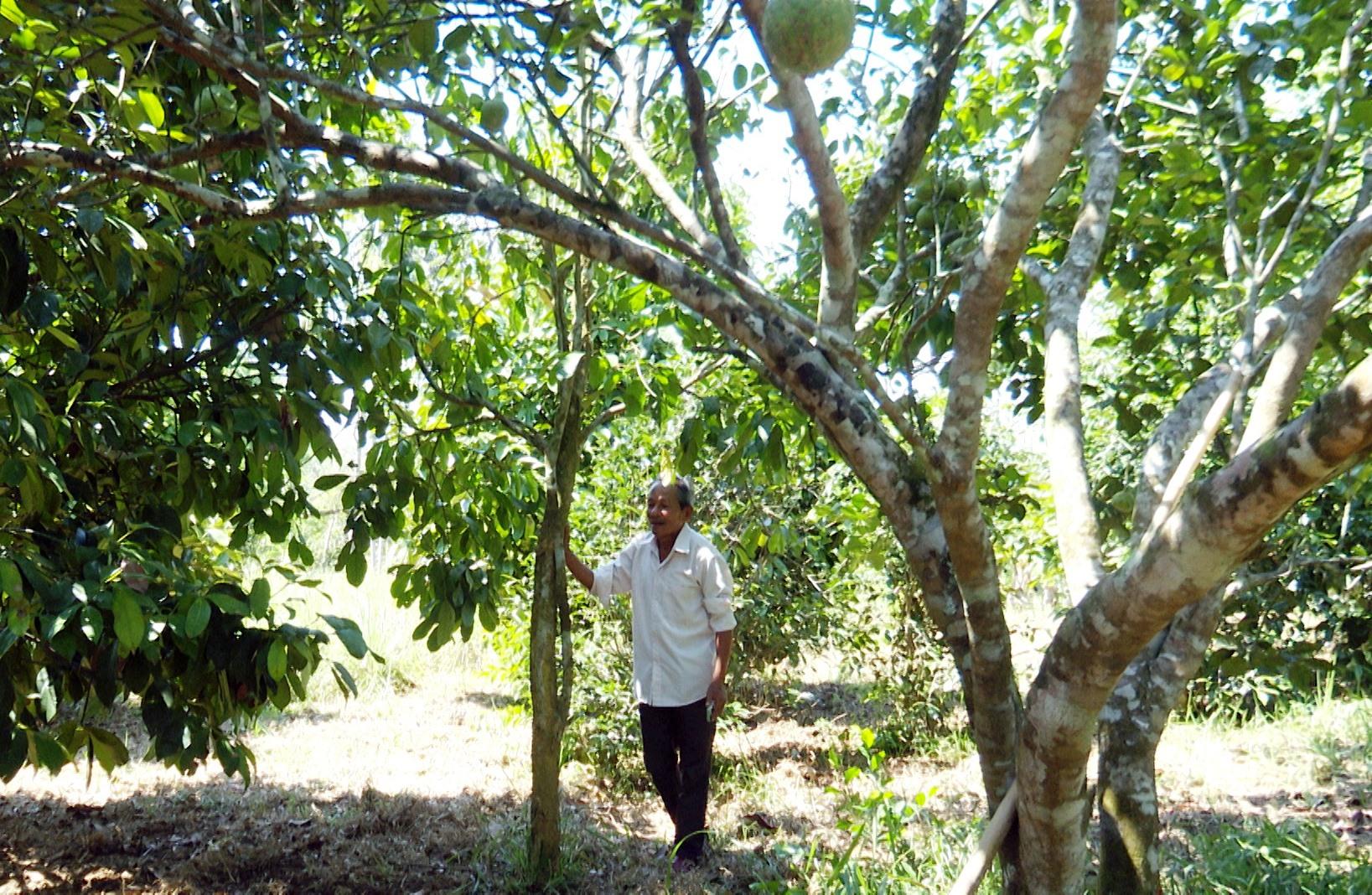 Với hơn 1,5ha vườn trồng măng cụt và thanh trà mỗi năm ông Dĩnh thu về hơn 200 triệu đồng. Ảnh: H.H