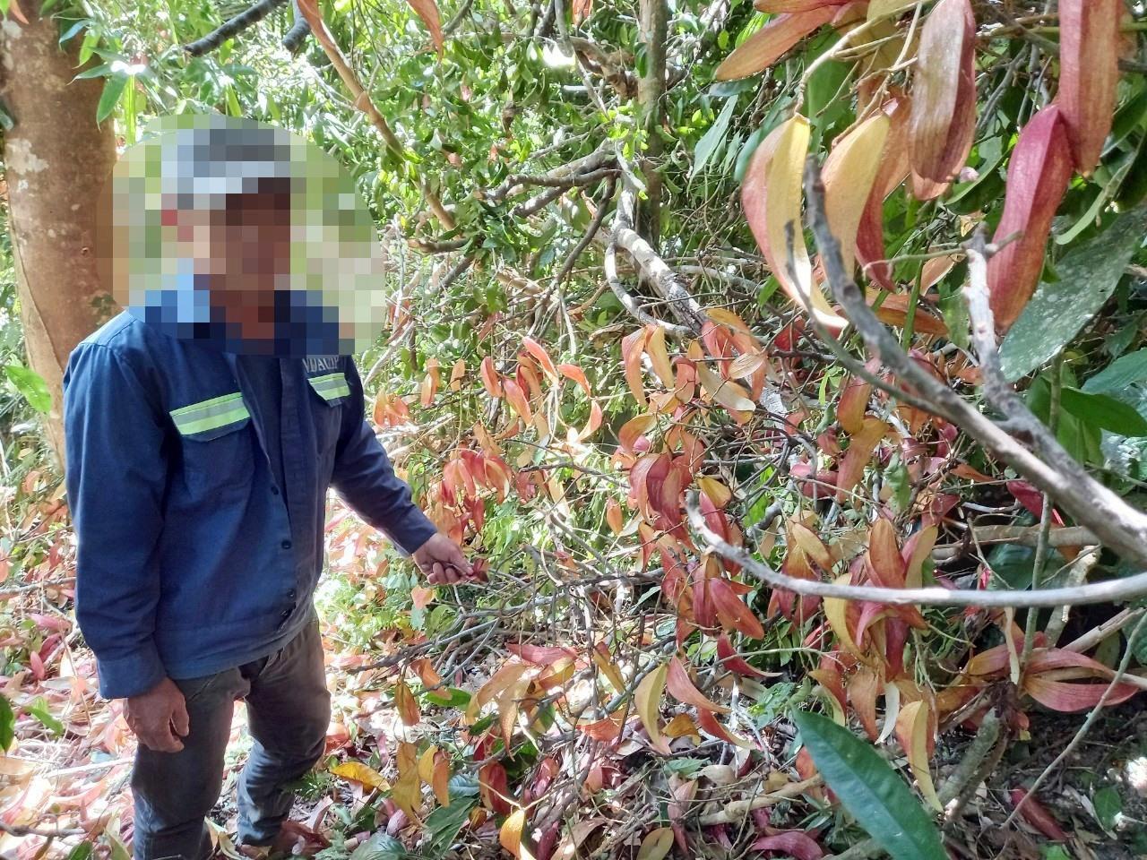 Hành vi chặt hạ cây ươi để lấy quả sẽ bị cơ quan chức năng huyện Phước Sơn xử lý nghiêm.