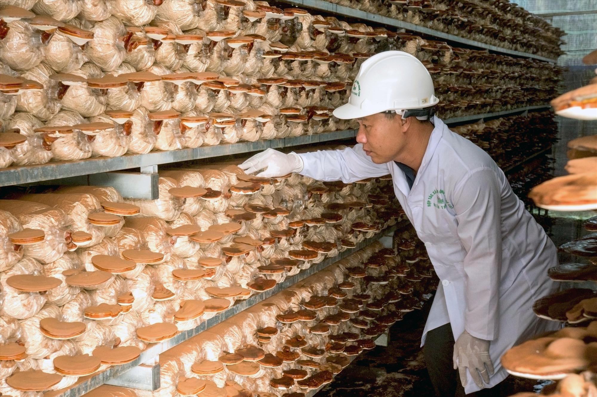 Ông Huỳnh Văn Phong kiểm tra chất lượng nấm trước khi thu hoạch. Ảnh: NGUYỄN ĐIỆN NGỌC