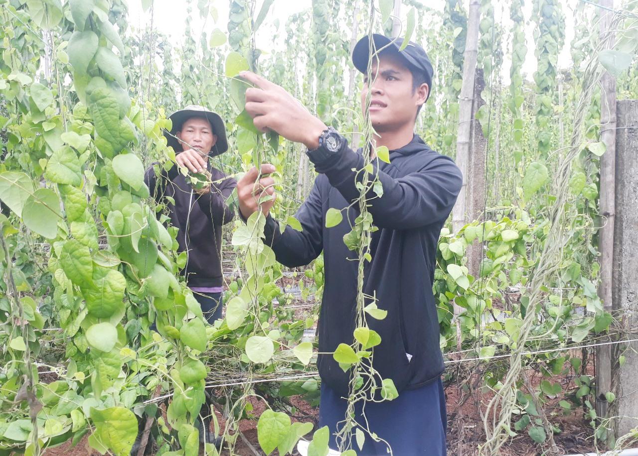 Vườn sương sâm của chị Nhân tạo việc làm cho 7 lao động tại thôn Phú Nam, xã Tam Xuân 2. Ảnh: H.Q