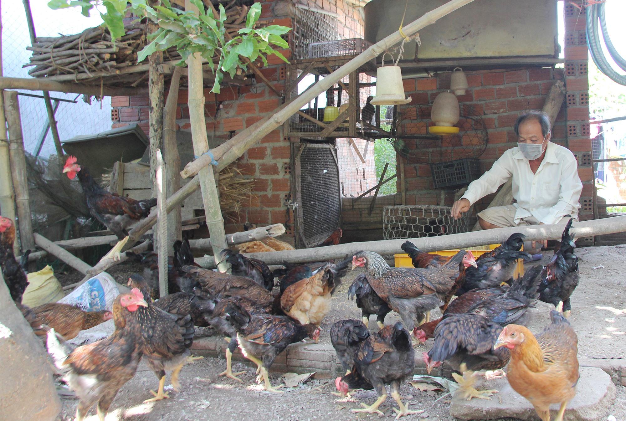 Nông dân xã Quế Phú phát triển mô hình nuôi gà từ nguồn vay vốn Ngân hàng chính sách xã hội huyện Quế Sơn. Ảnh: H.Q