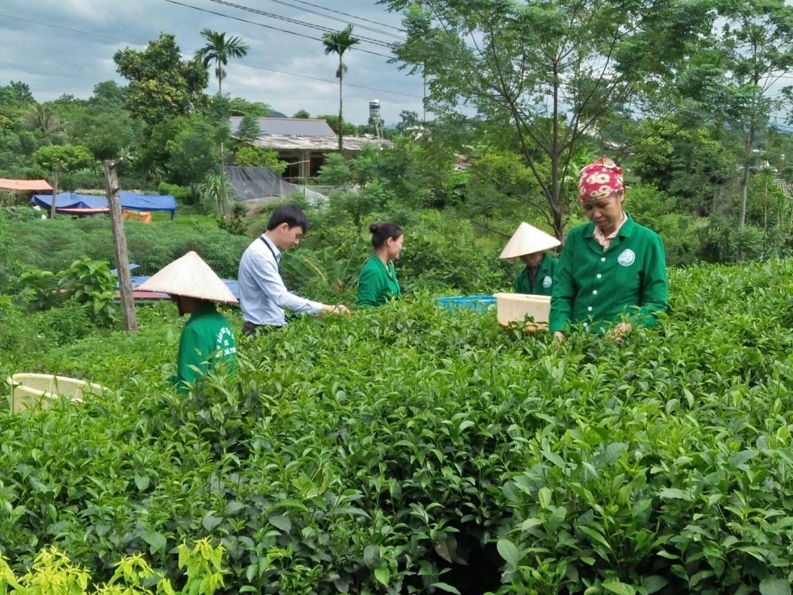 Trà Thái Nguyên vị truyền thống từ vùng chè Tân Cương.