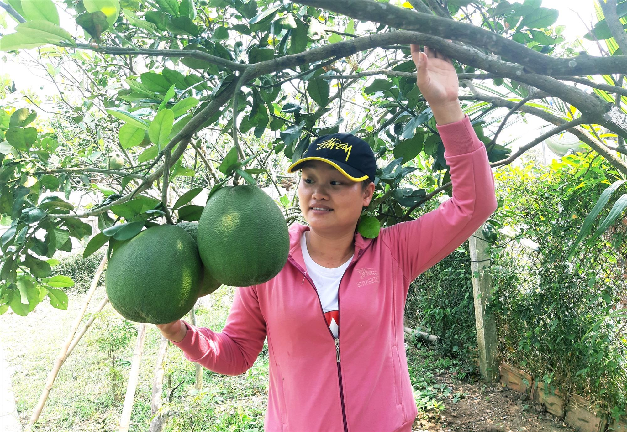 Mô hình trồng bưởi chuyên canh của gia đình bà Huỳnh Thị Minh Hoàng ở thôn Bắc An Sơn (Quế Thọ, Hiệp Đức) bước đầu cho hiệu quả kinh tế cao. Ảnh: L.Đ