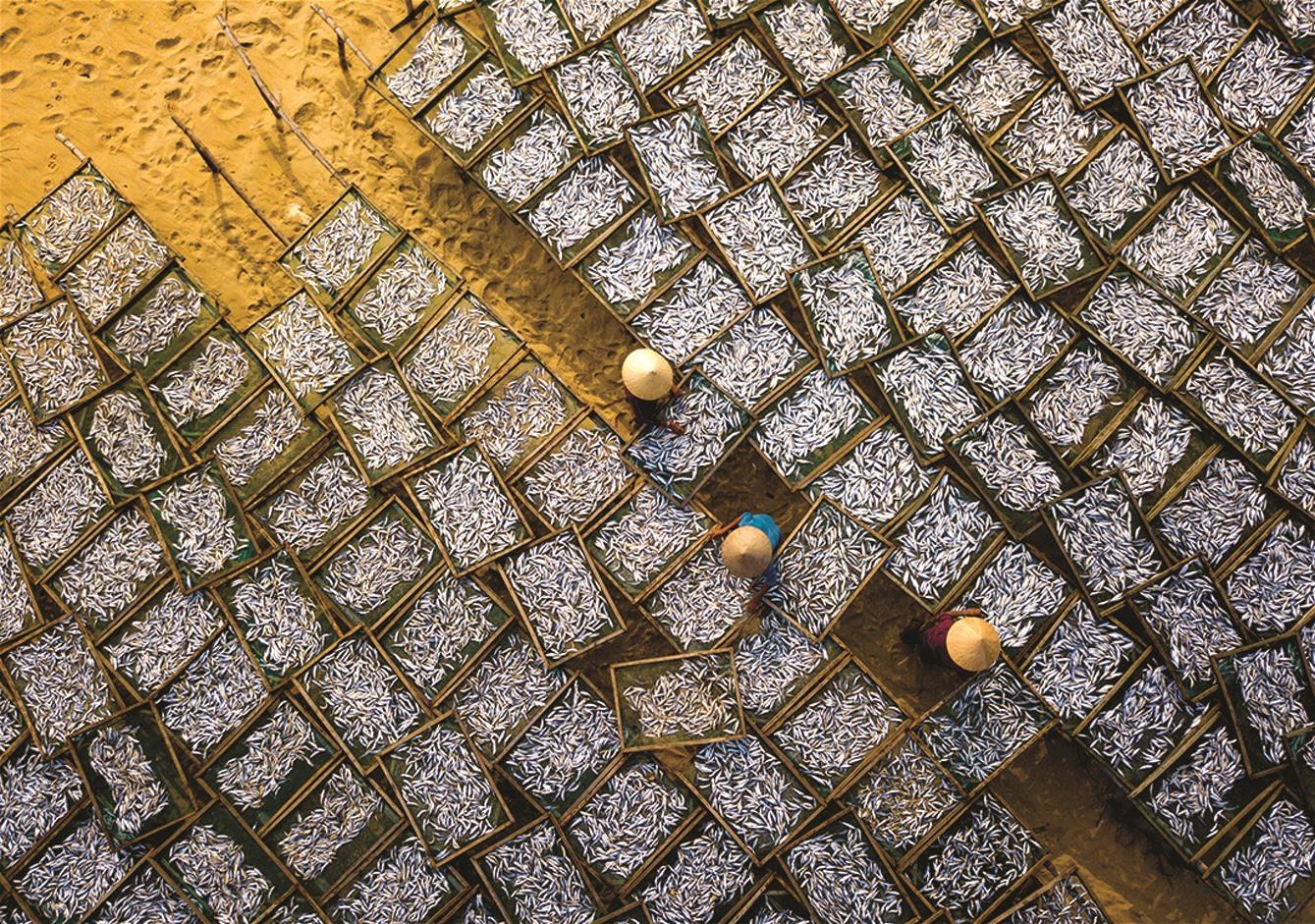 Mùa phơi cá nục tại xã Duy Hải huyện Duy Xuyên.