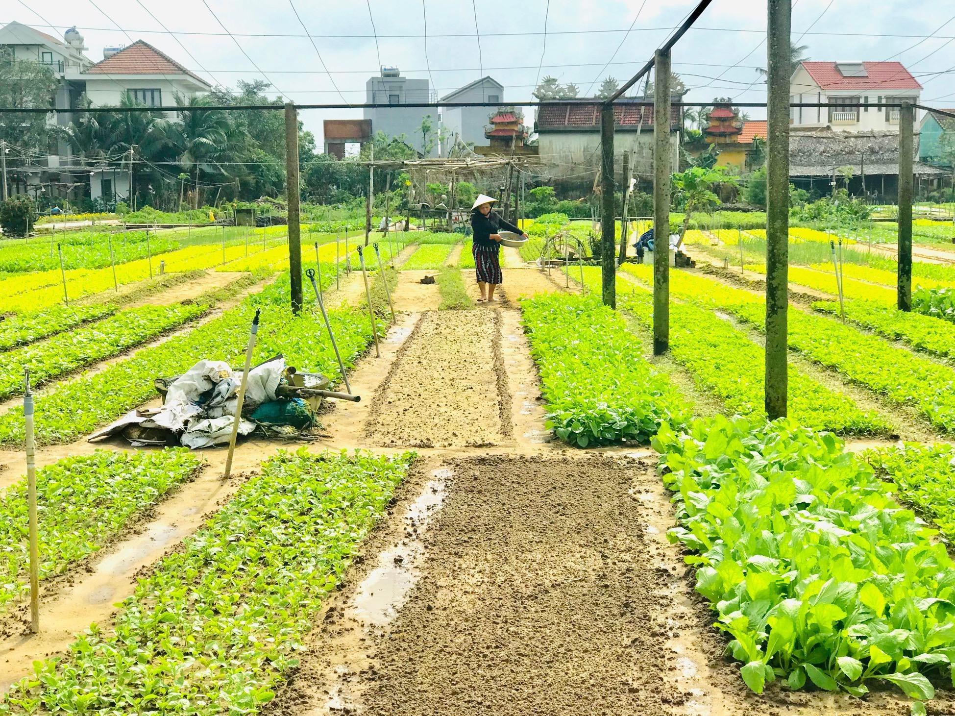 Các hoạt động thương mại, nông nghiệp ở Hội An cũng trông chờ rất lớn vào giá trị tăng thêm từ du lịch. Ảnh: Q.T