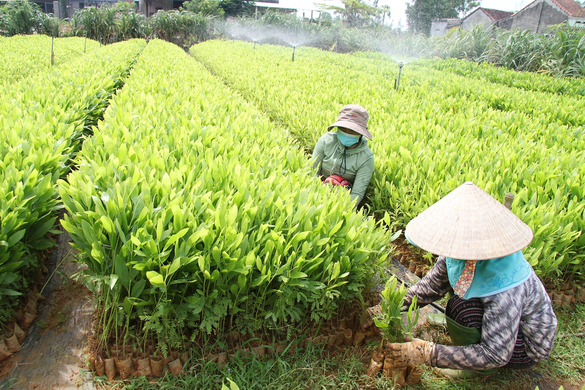 Ươm giống cây keo mang lại thu nhập ổn định cho người dân thôn Trà Lý. Ảnh: H.Q