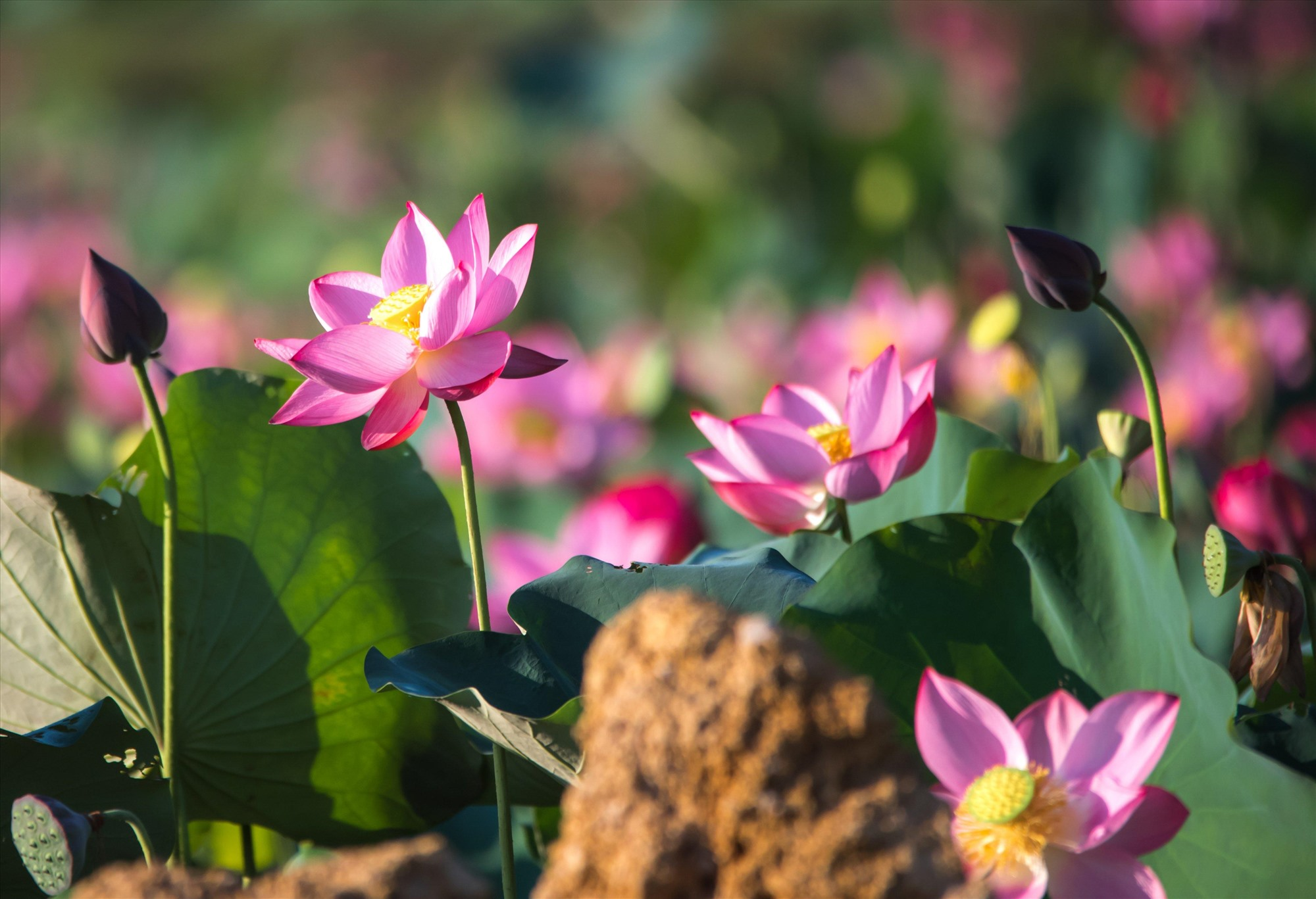 Lotus flowers are great in the early morning, from 5 to 6 am.