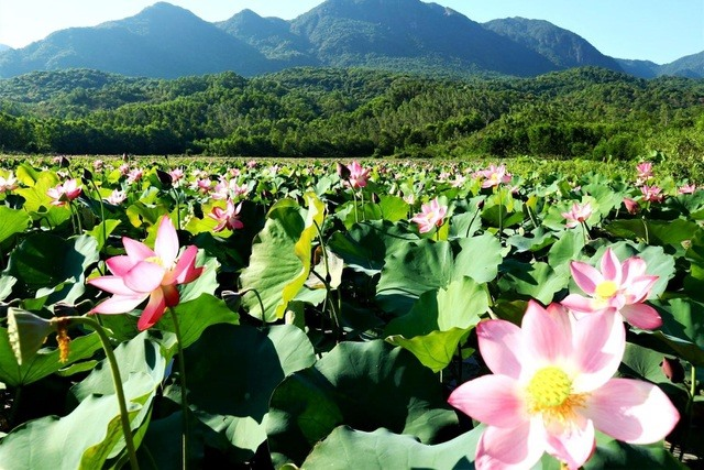This field is about 15ha-20ha and  covered with lotus in early June, attracting many visitors.