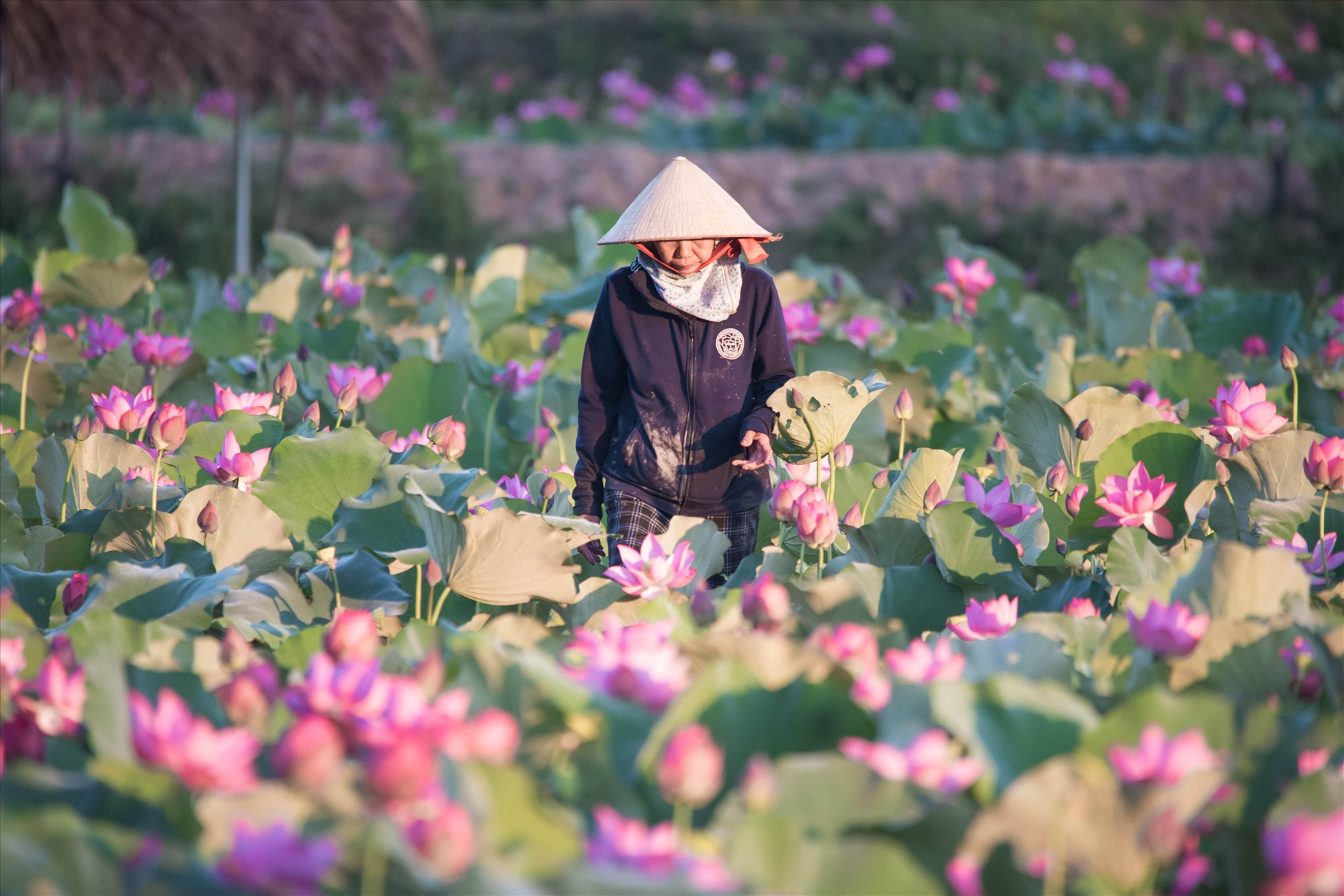 A farmer takes care of the lotus field.