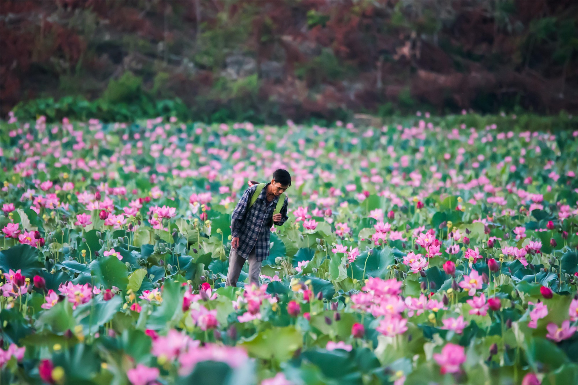 Local people on the full-bloomed lotus field, hoping an abundant crop.