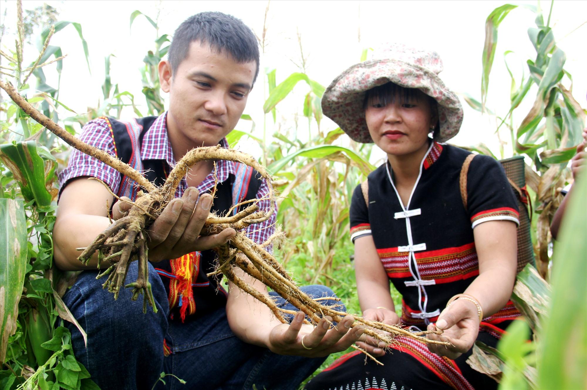 Người dân miền núi khai thác dược liệu nông sản dưới tán rừng sau thời gian đầu tư mở hướng phát triển kinh tế mới. Ảnh: A.N