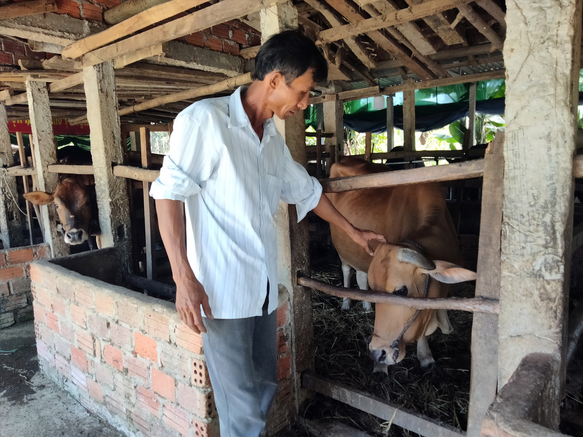 Ông Nguyễn Ba đã chủ động mua vắc xin bệnh viêm da nổi cục về tiêm phòng cho đàn bò 11 con của gia đình. Ảnh: T.T