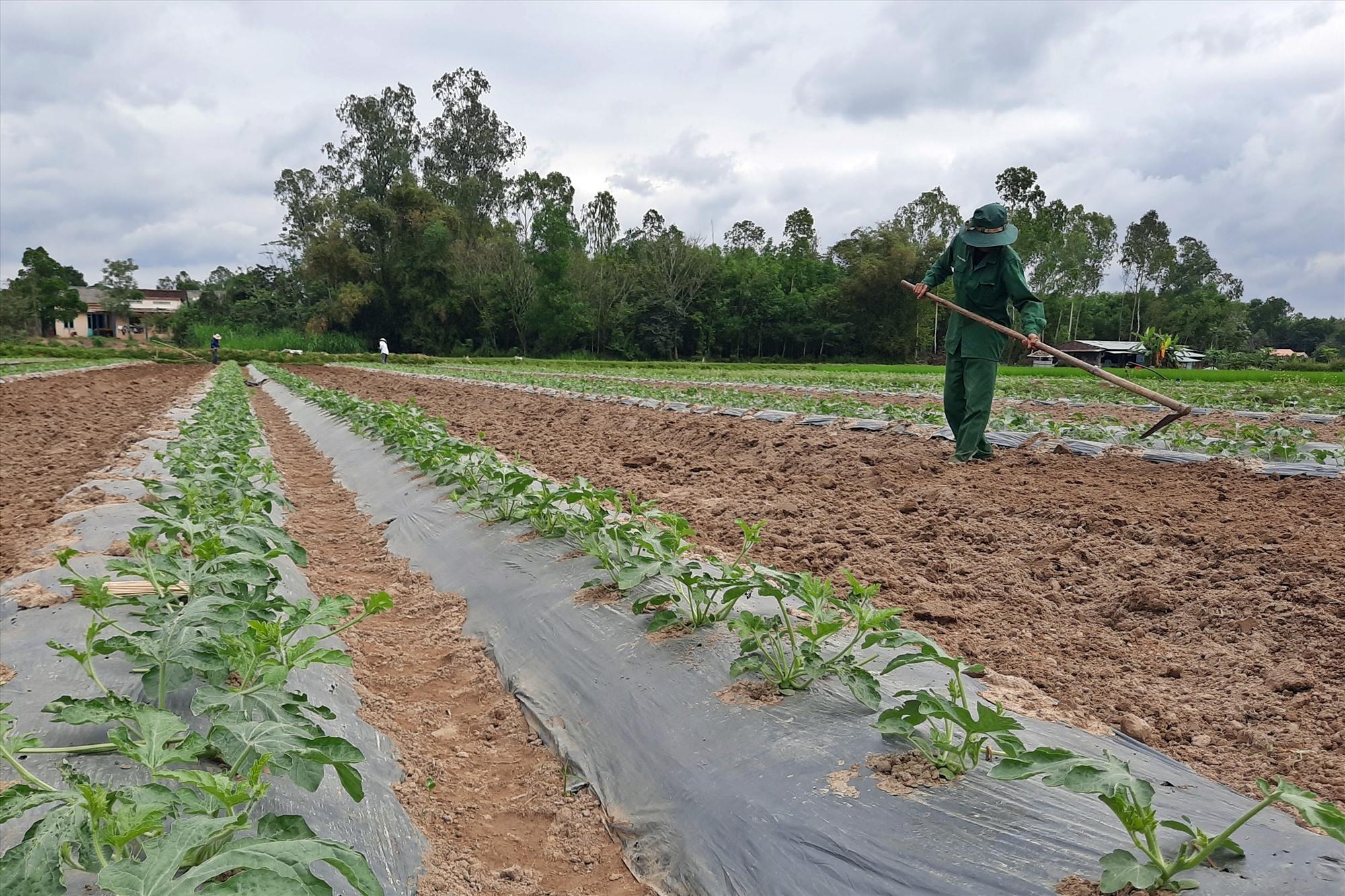 Phú Ninh xác định sẽ chú trọng vào tưới tiên tiến, tiết kiệm, thủy lợi hóa đất màu để thích ứng với hạn hán. Ảnh: H.Đ