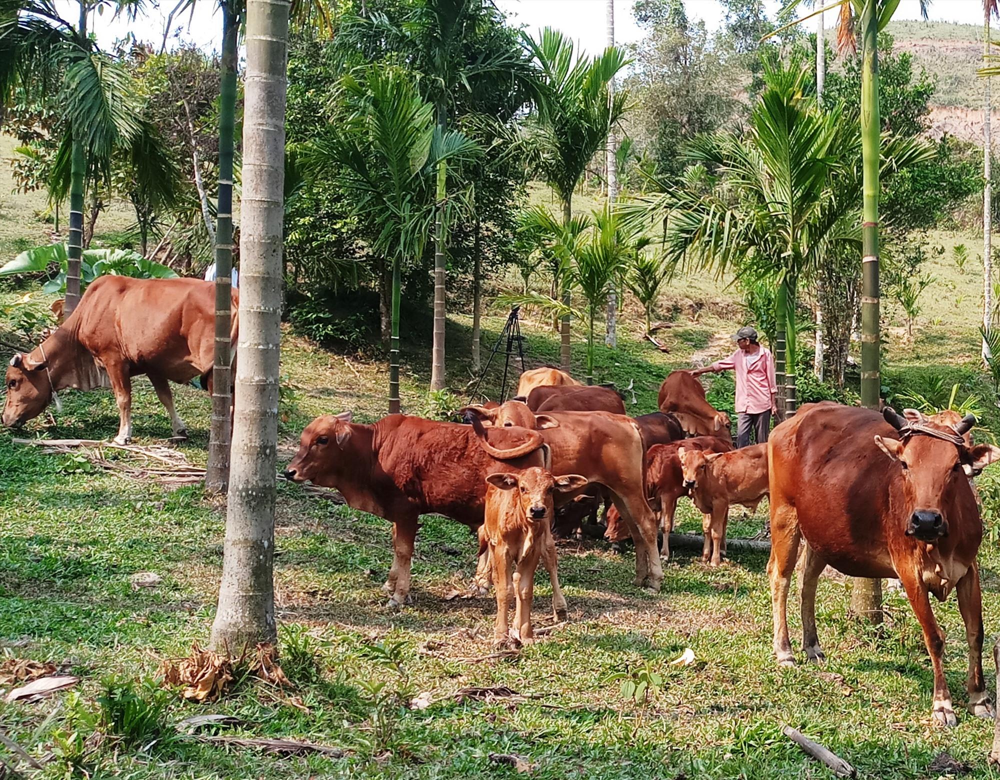 Mô hình chăn nuôi bò kết hợp với trồng cau, keo lai vươn lên thoát nghèo của CCB Huỳnh Ngọc Vị, ở thôn 1, xã Tiên Lãnh. Ảnh: N.H