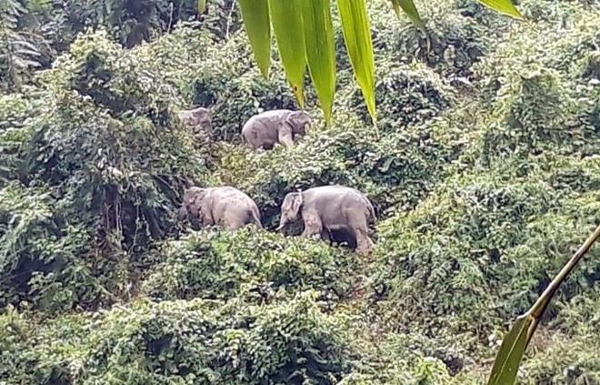 Wild elelphants in Nong Son district