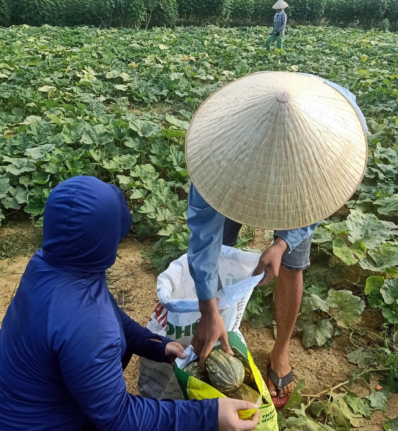 """Người dân hái bí đỏ gửi nhóm mang vào ủng hộ cho bà con vùng """"tâm dich"""" TP.Hồ Chí Minh. Ảnh: P.L"""
