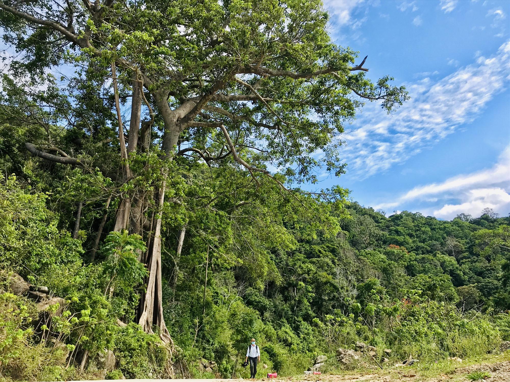Khu vực xung quanh cây đa di sản 700 tuổi sẽ được chỉnh trang trở thành một điểm dừng chân độc đáo. Ảnh: Q.T