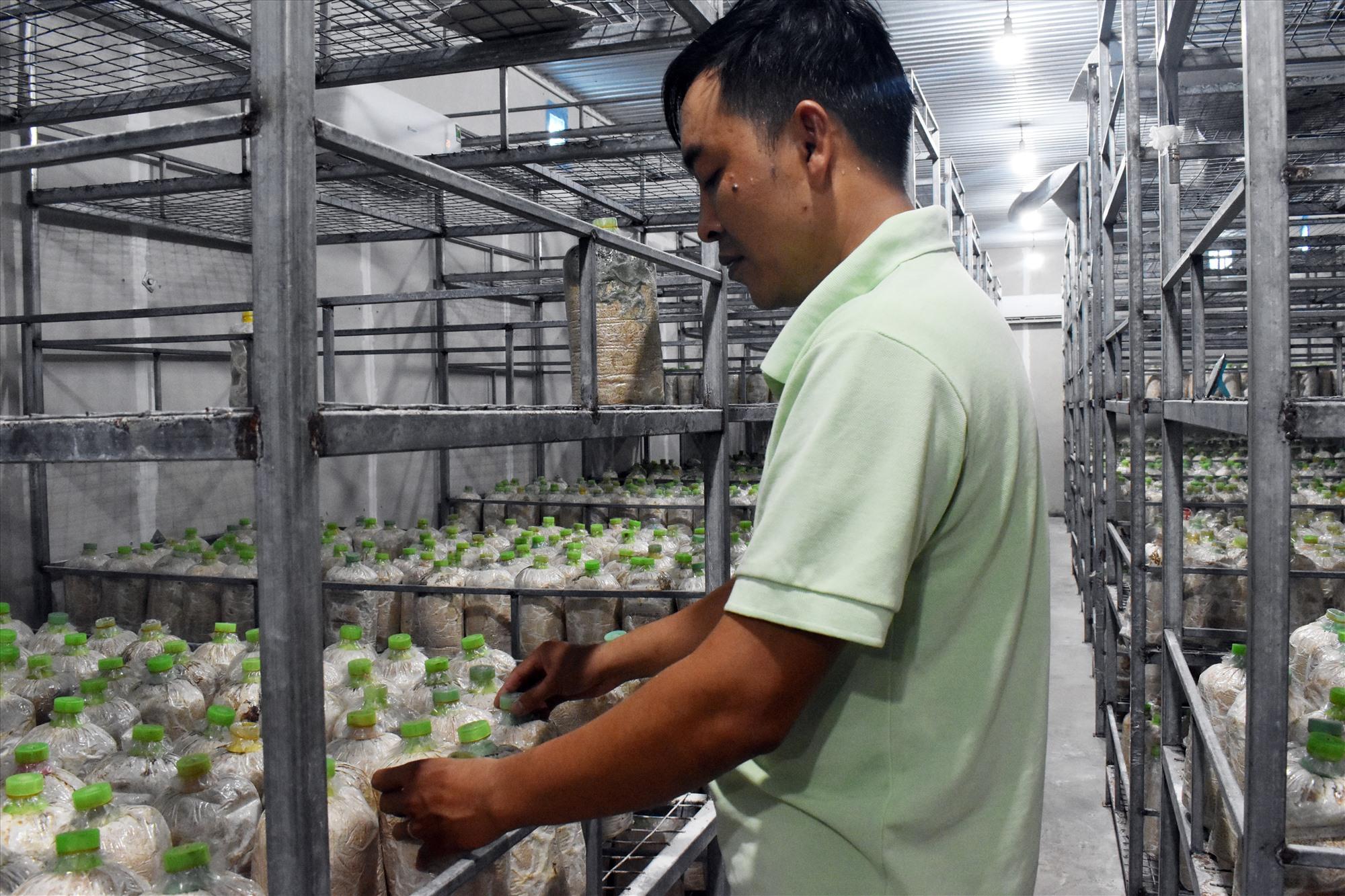 Anh Dương Thái Phong đang chăm sóc phôi trong trại nấm.