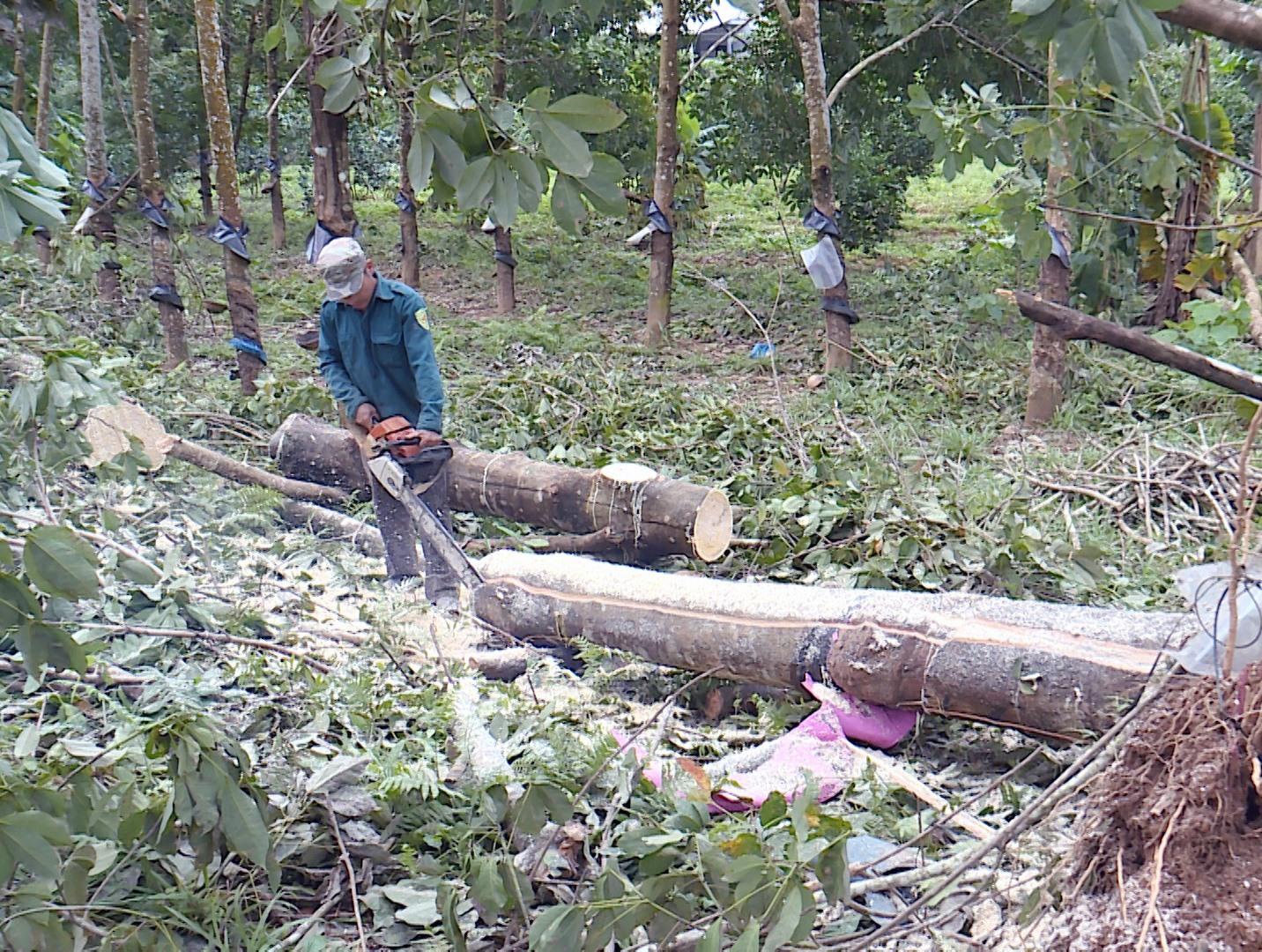 Người dân Hiệp Đức cưa dọn cây cao su ngã đổ do ảnh hưởng của cơn bão số 9 năm 2020. Ảnh: LONG PHI