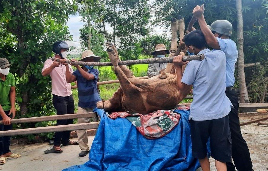 Thăng Bình tiêu hủy 88 con gia súc chết do mắc bệnh viêm da nổi cục. Ảnh: M.T