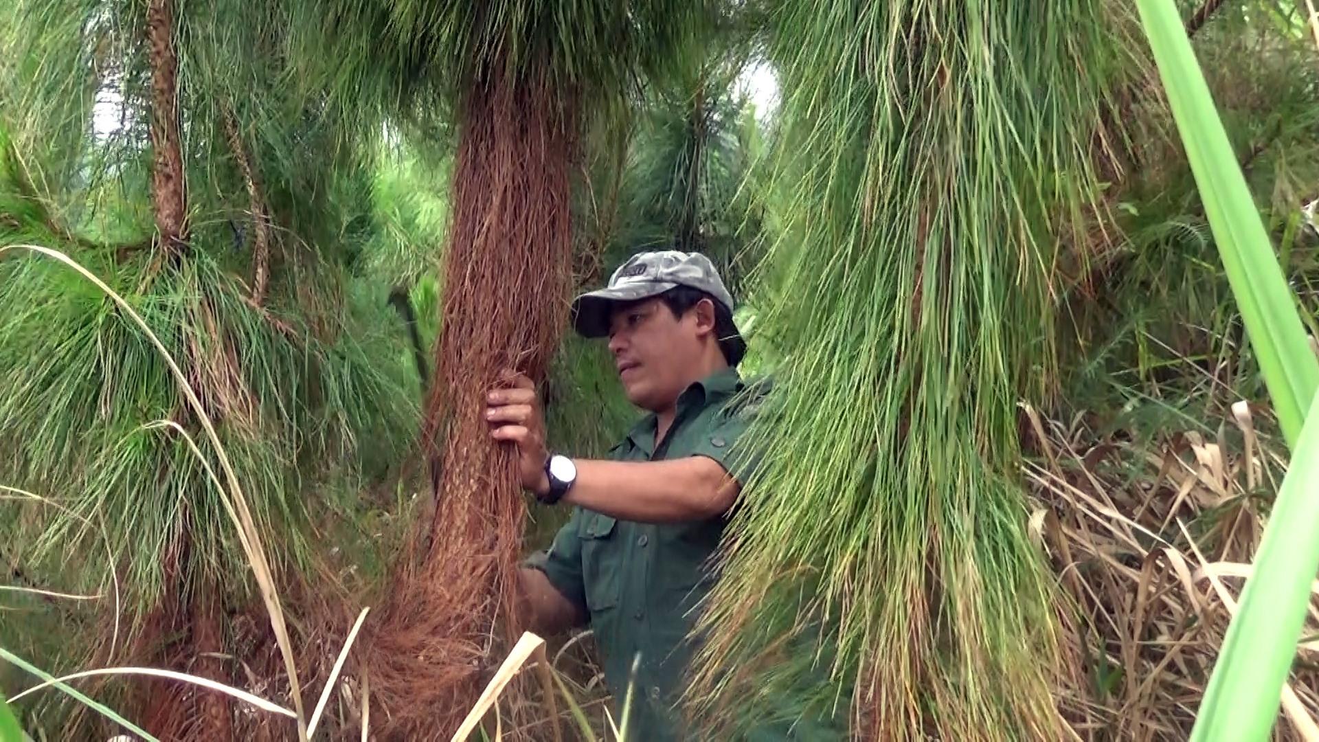Ông Nguyễn Văn Lượng (thôn 2, xã Trà Linh) chăm sóc rừng thông của gia đình.
